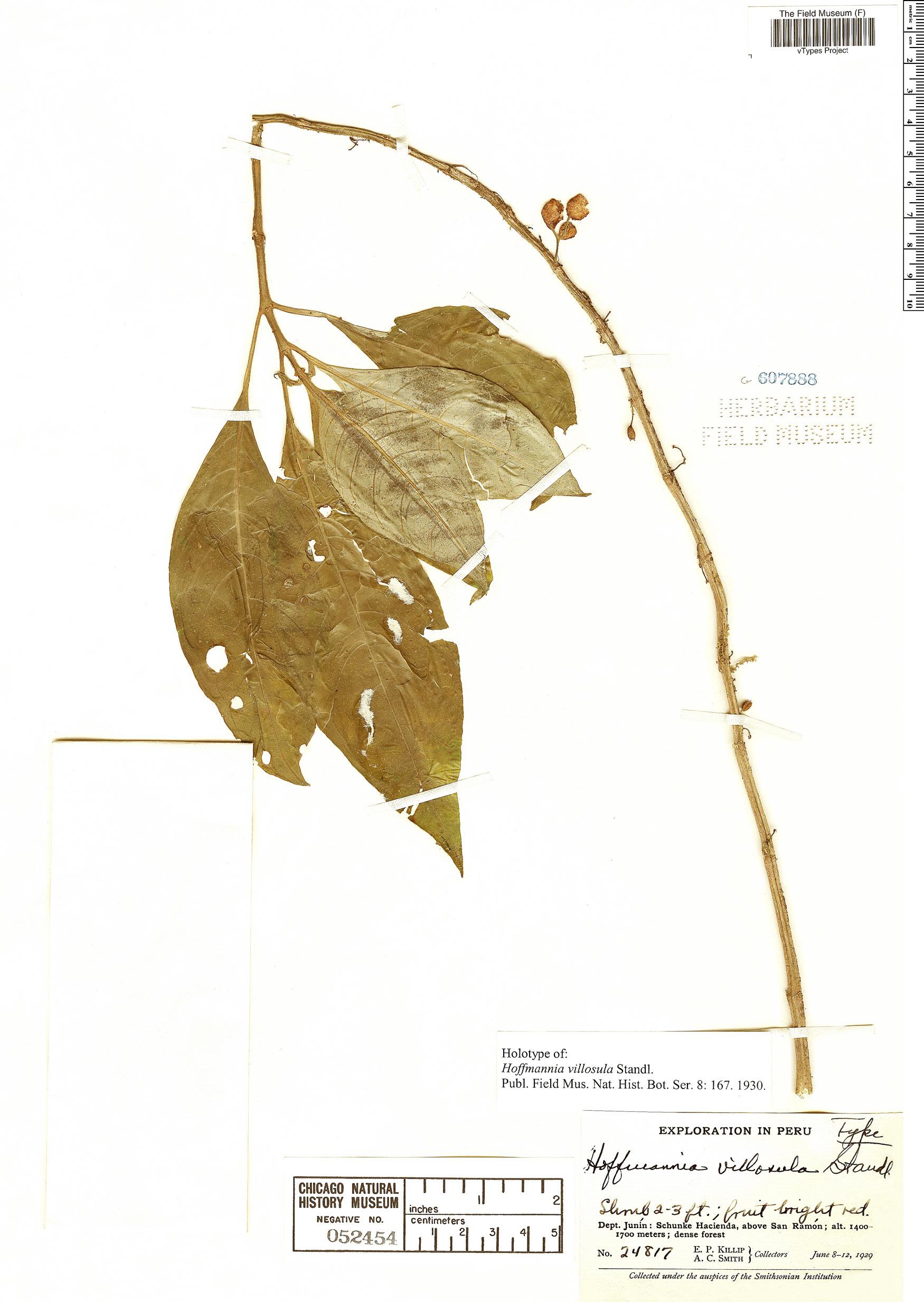 Espécimen: Hoffmannia villosula