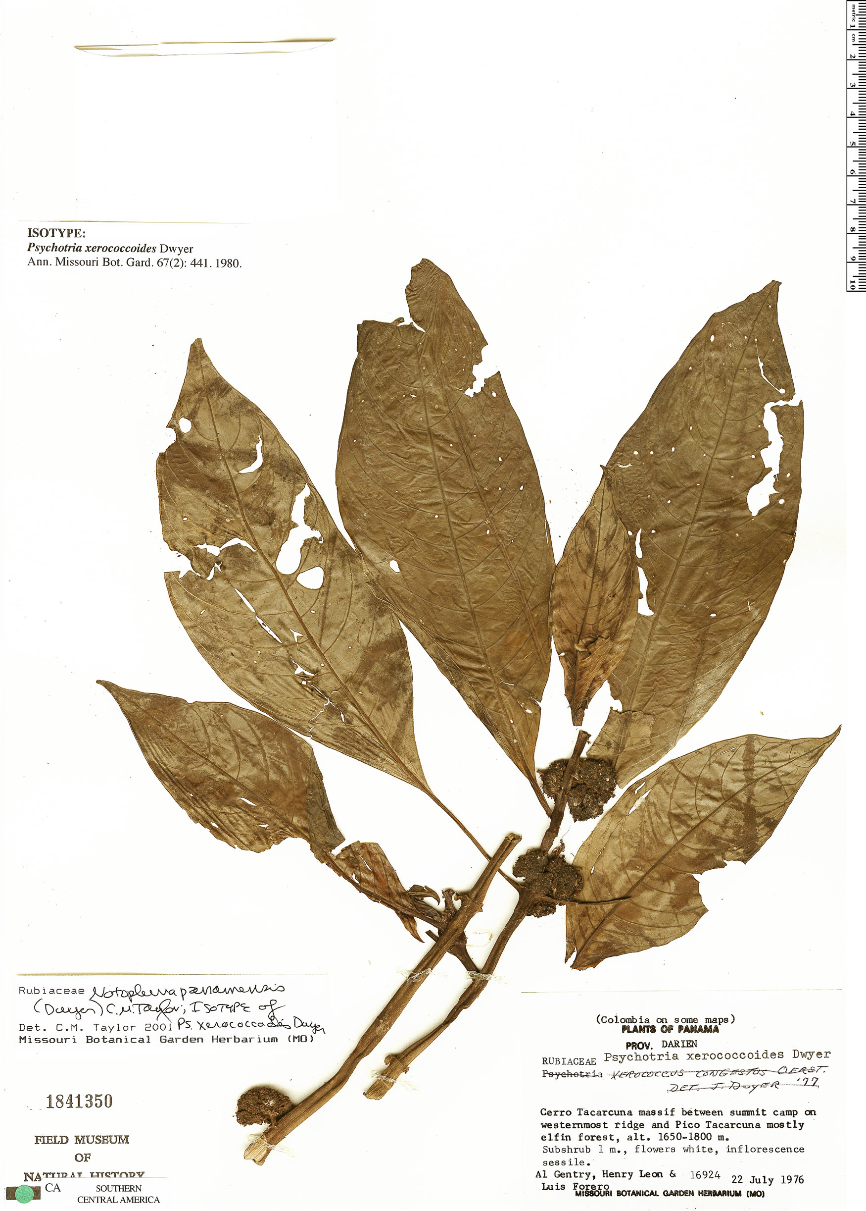 Specimen: Notopleura panamensis