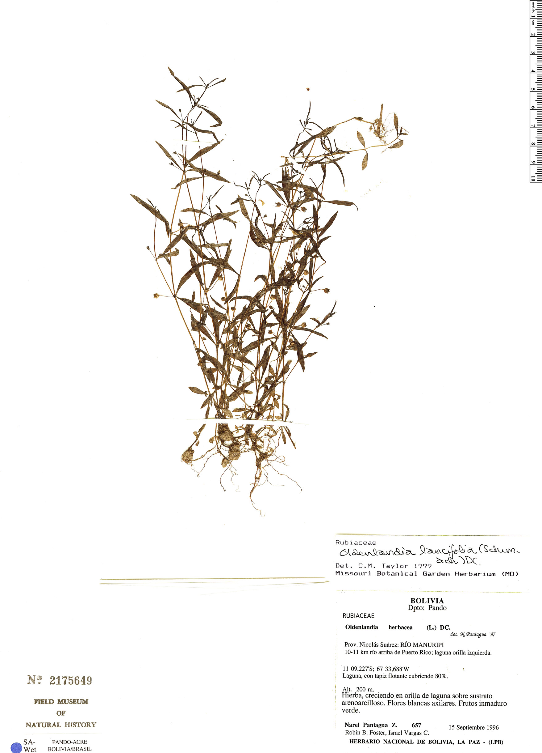Espécime: Oldenlandia lancifolia
