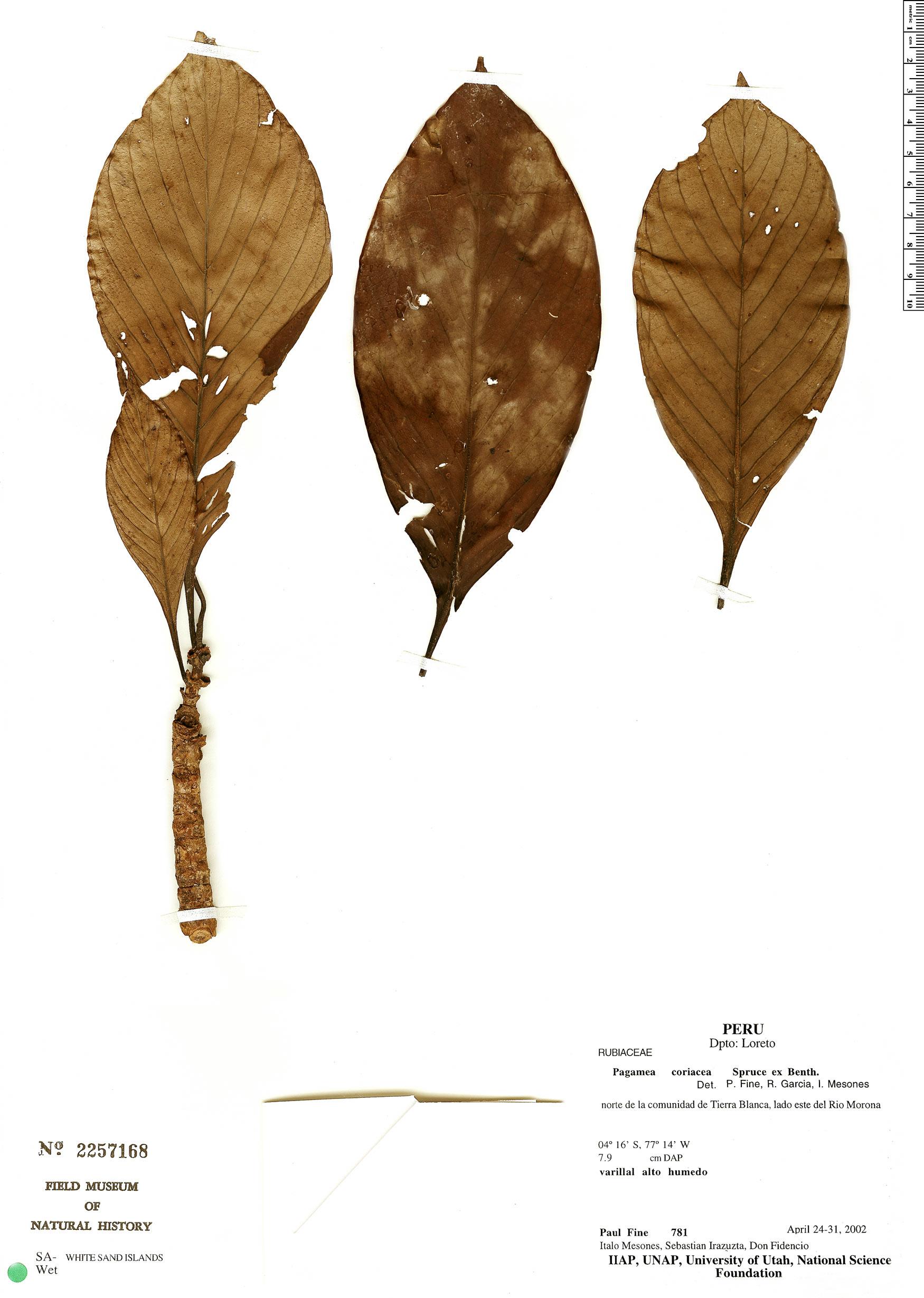 Specimen: Pagamea coriacea