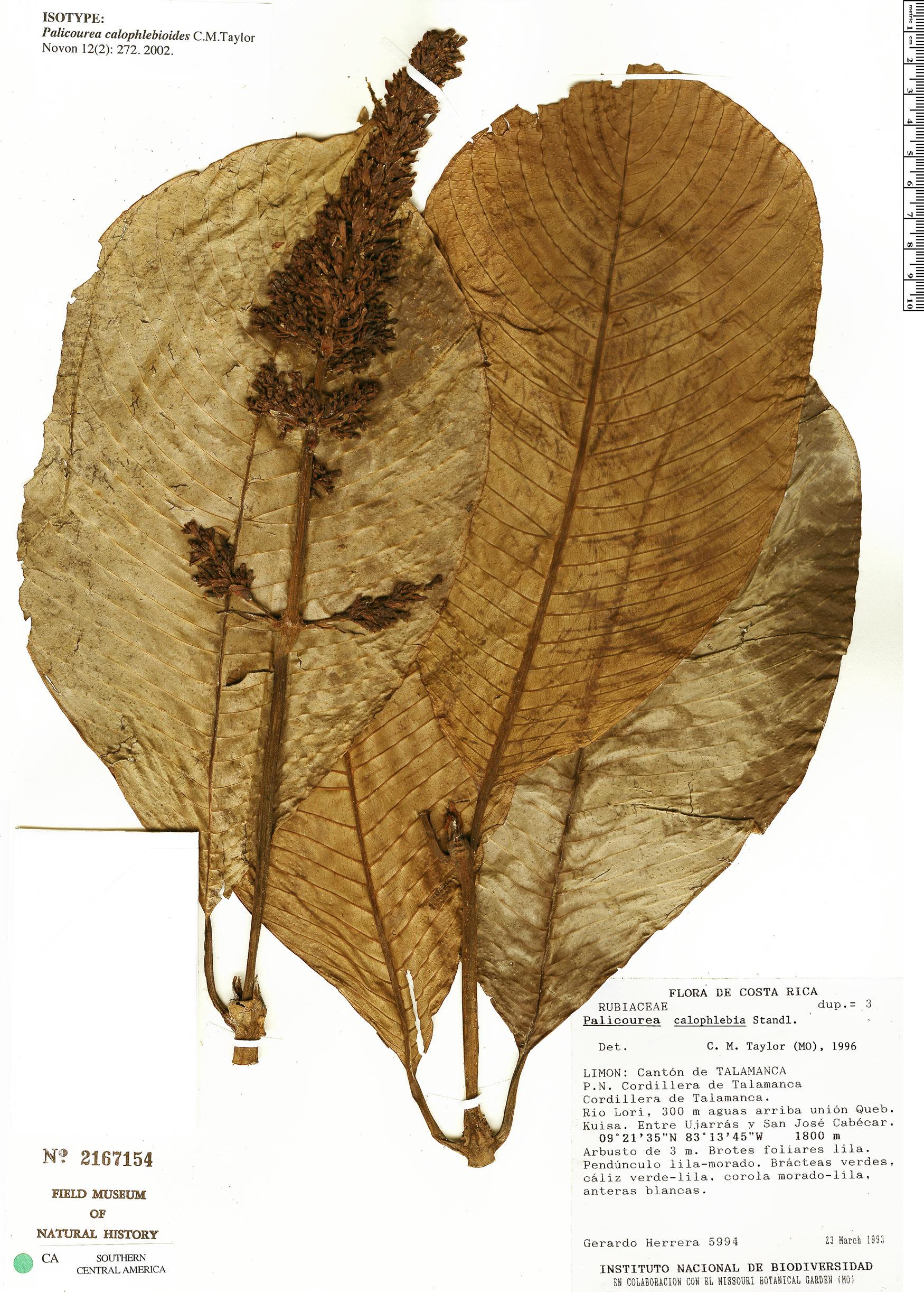 Specimen: Palicourea calophlebioides