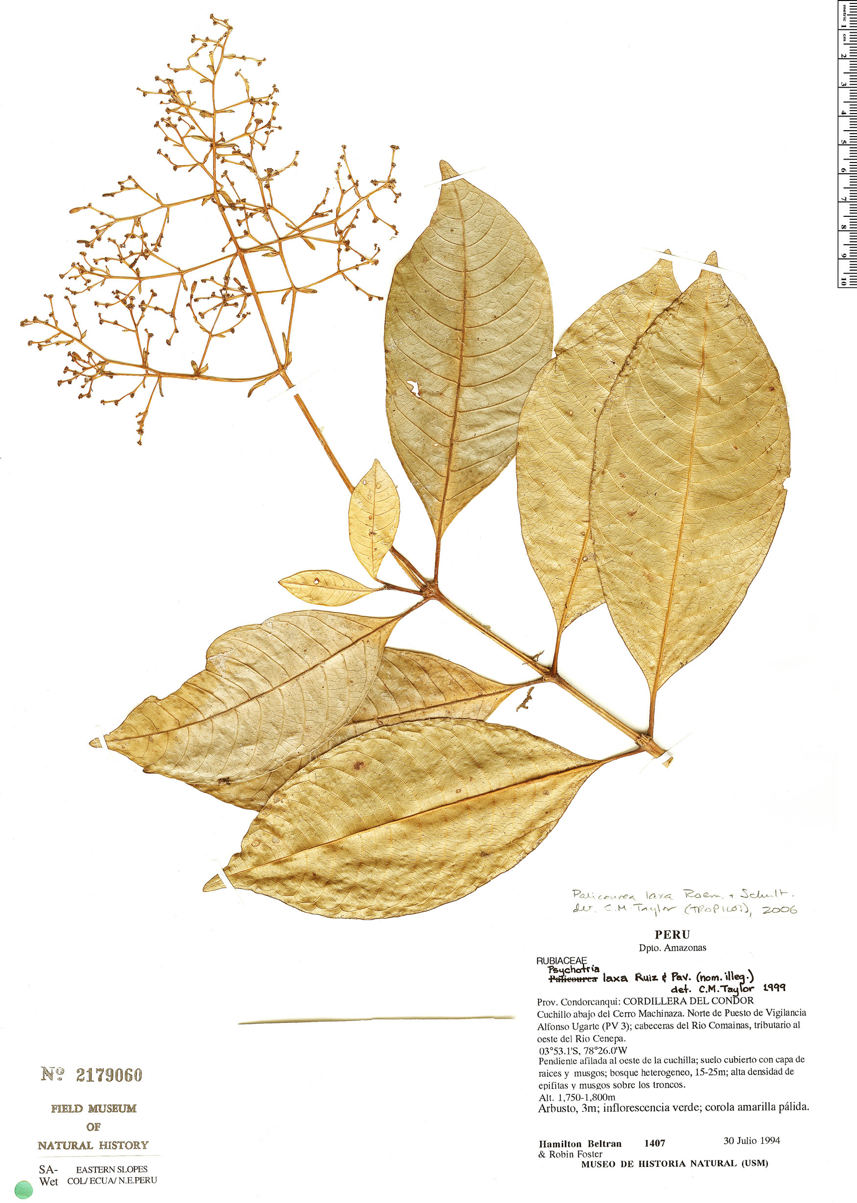 Specimen: Palicourea luteovirescens