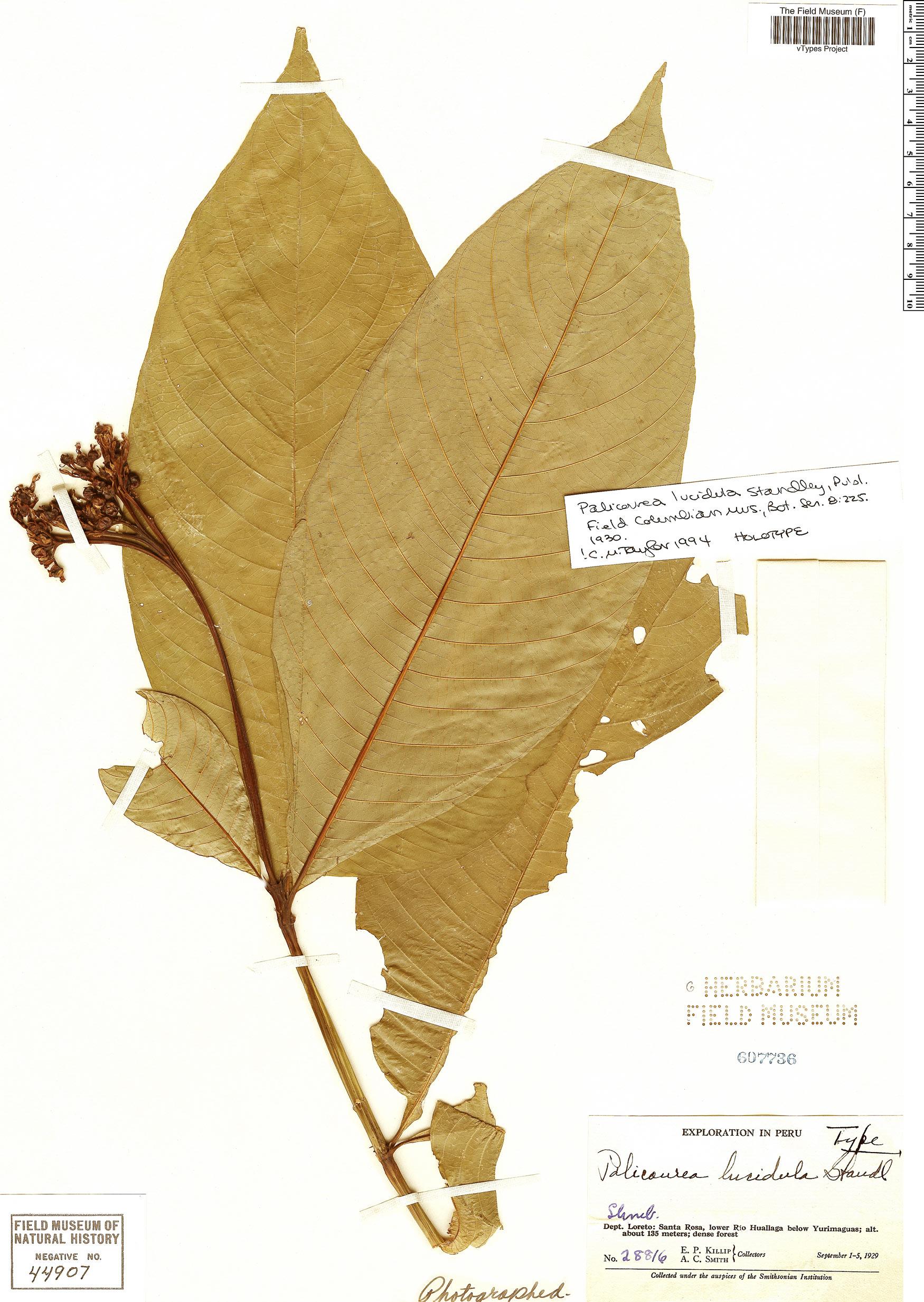 Specimen: Palicourea lucidula