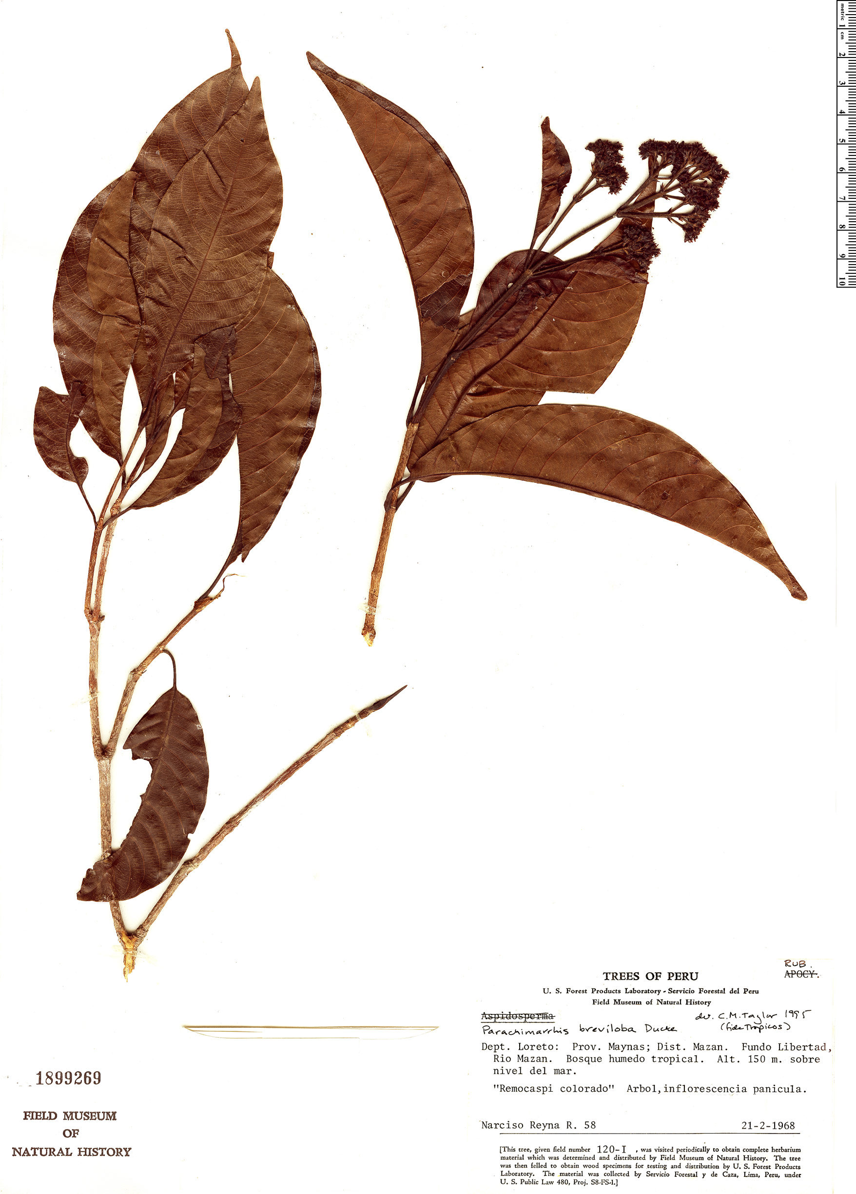 Specimen: Parachimarrhis breviloba
