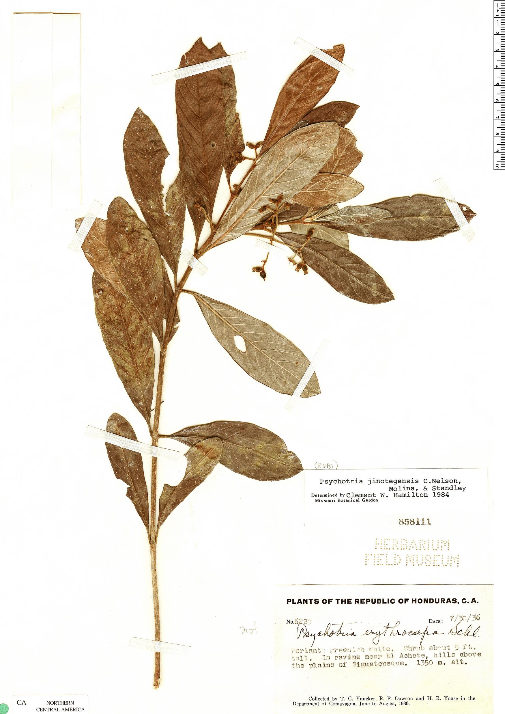 Specimen: Psychotria jinotegensis