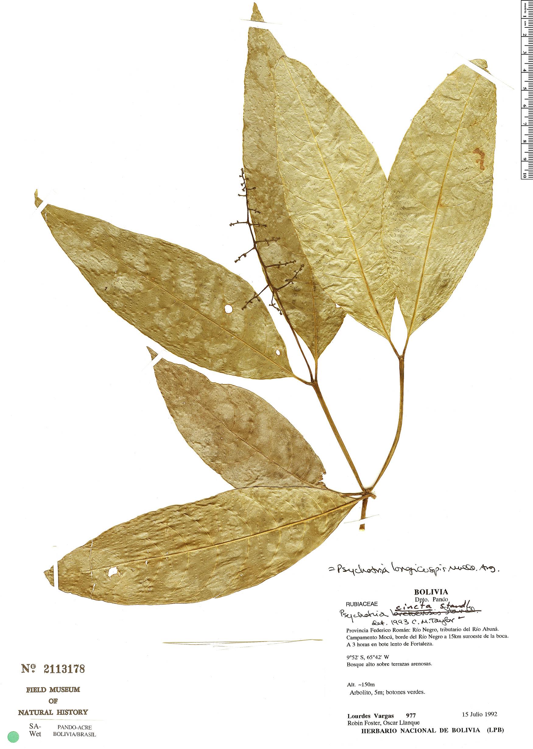 Specimen: Palicourea longicuspis