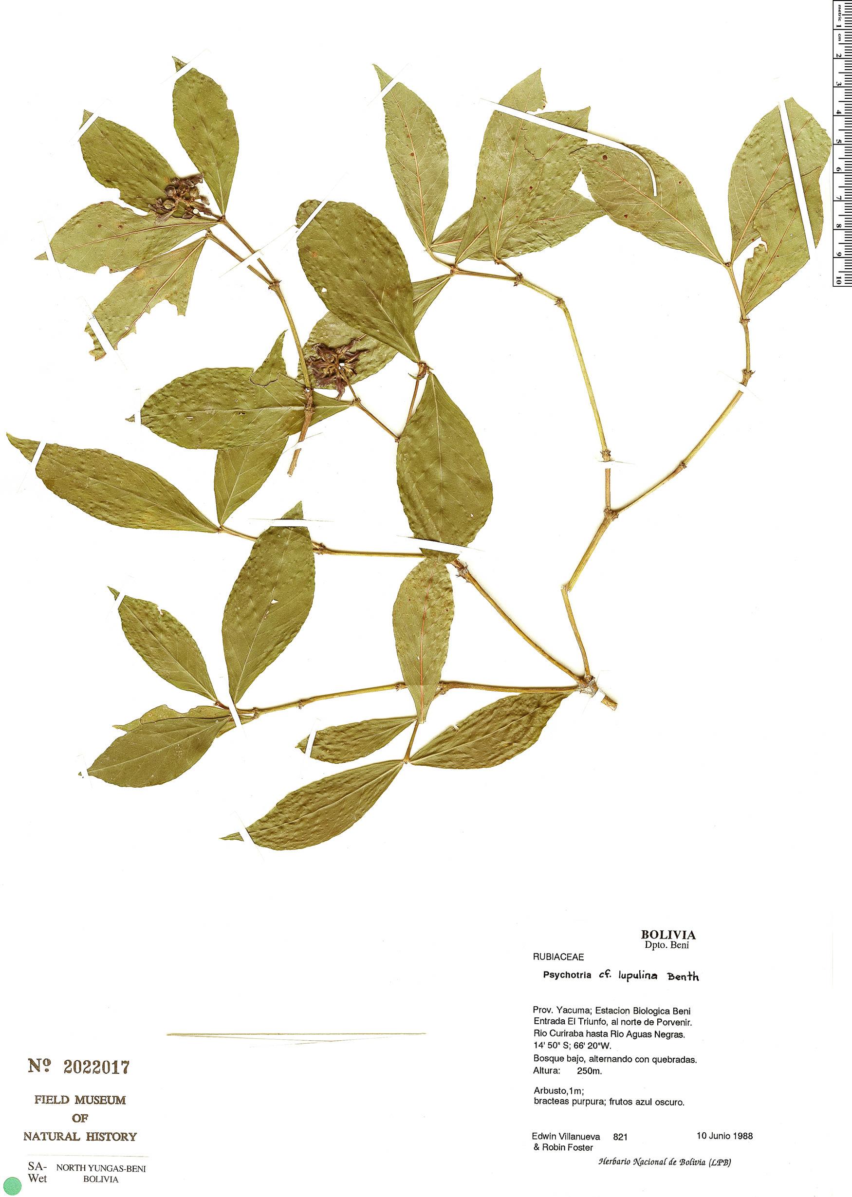 Specimen: Psychotria lupulina
