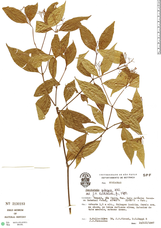 Espécimen: Psychotria pubigera