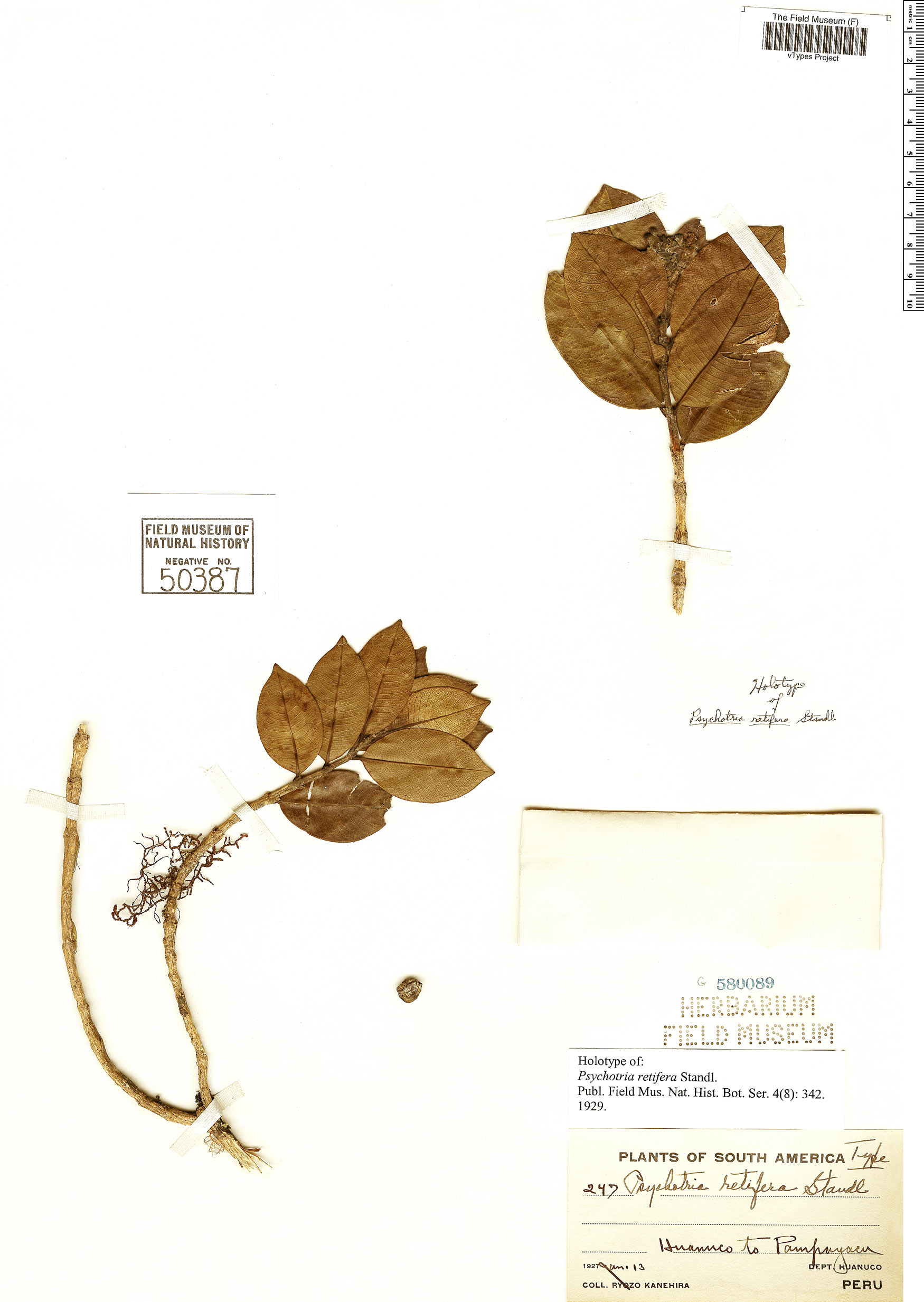 Specimen: Psychotria retifera