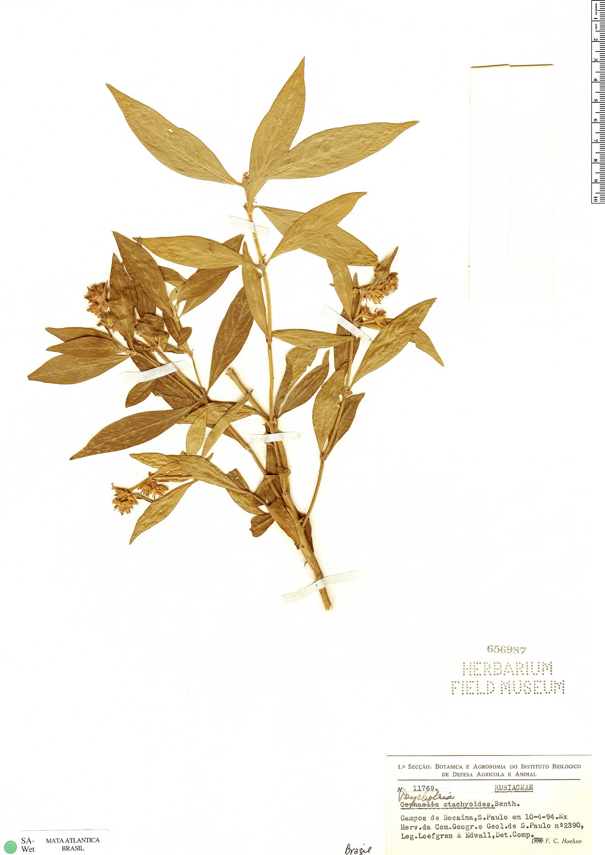 Specimen: Psychotria stachyoides