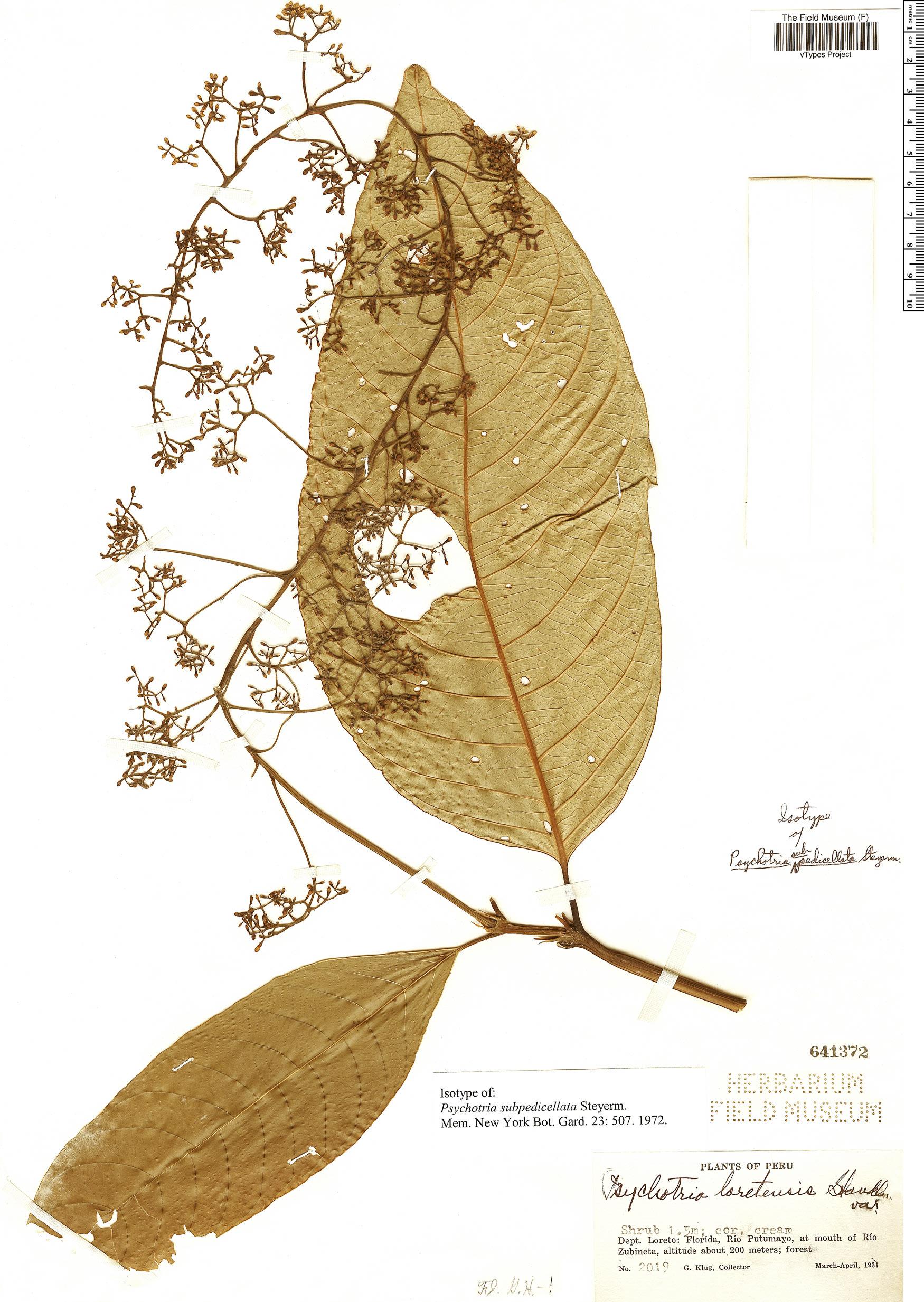 Specimen: Psychotria subpedicellata