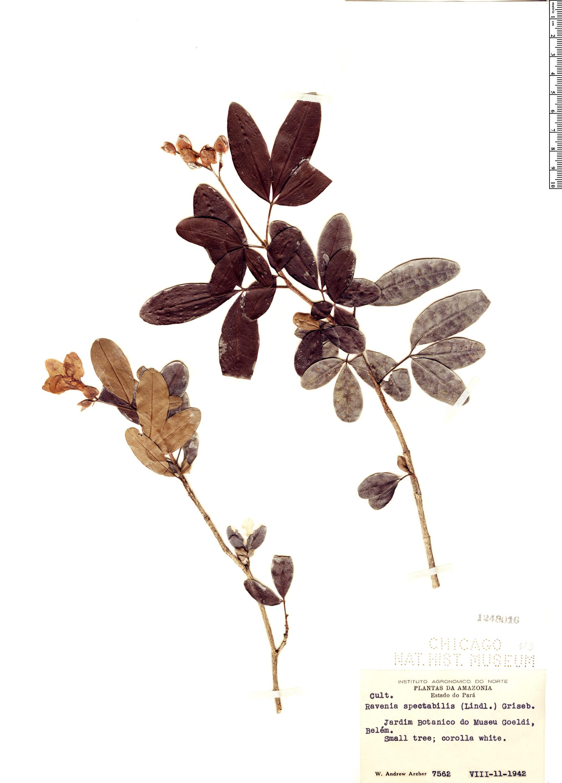 Specimen: Ravenia spectabilis