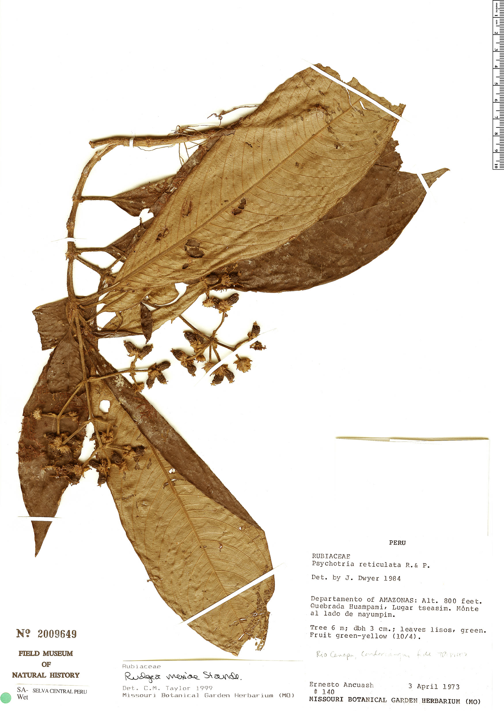 Specimen: Palicourea yneziae