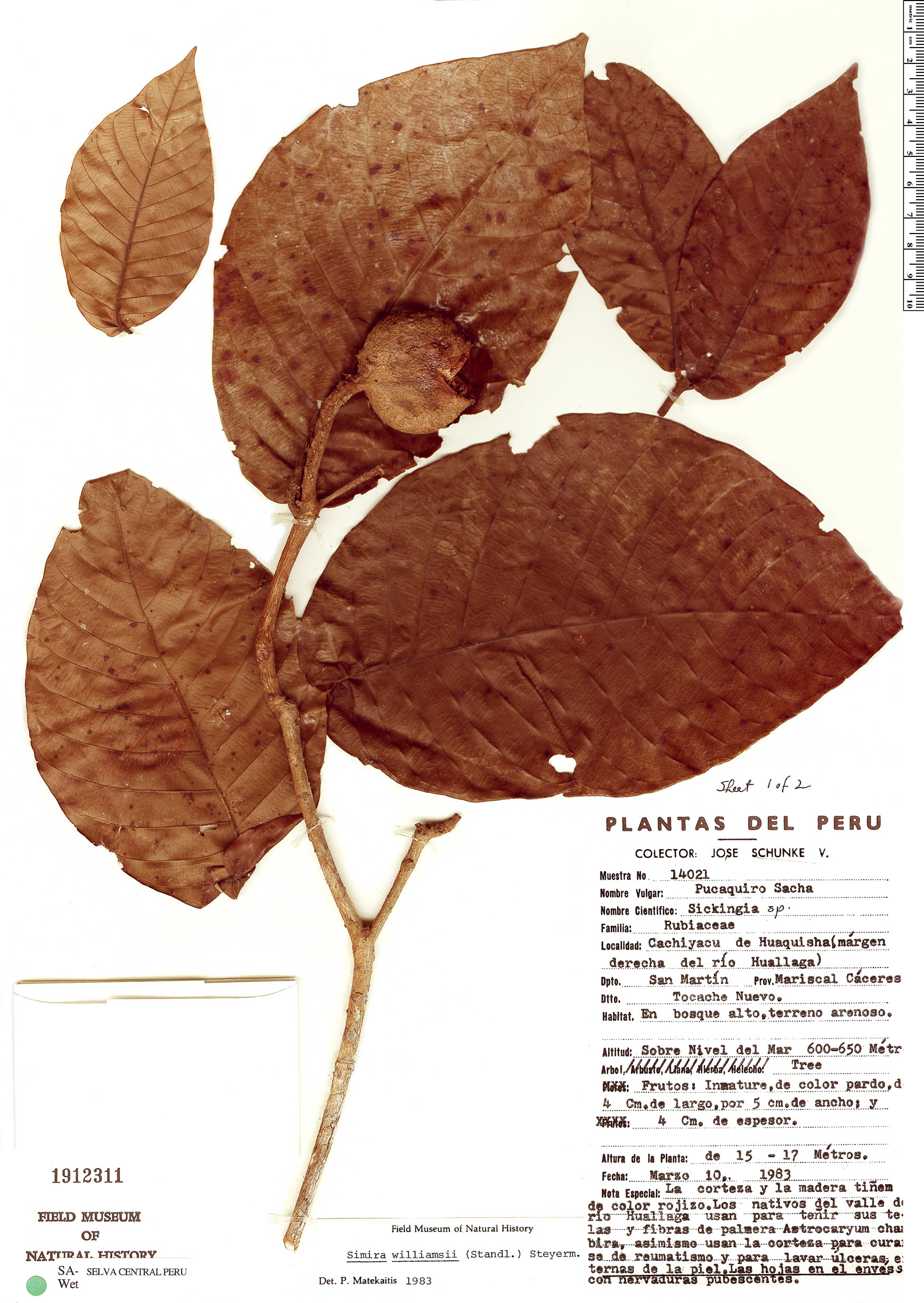 Specimen: Simira williamsii