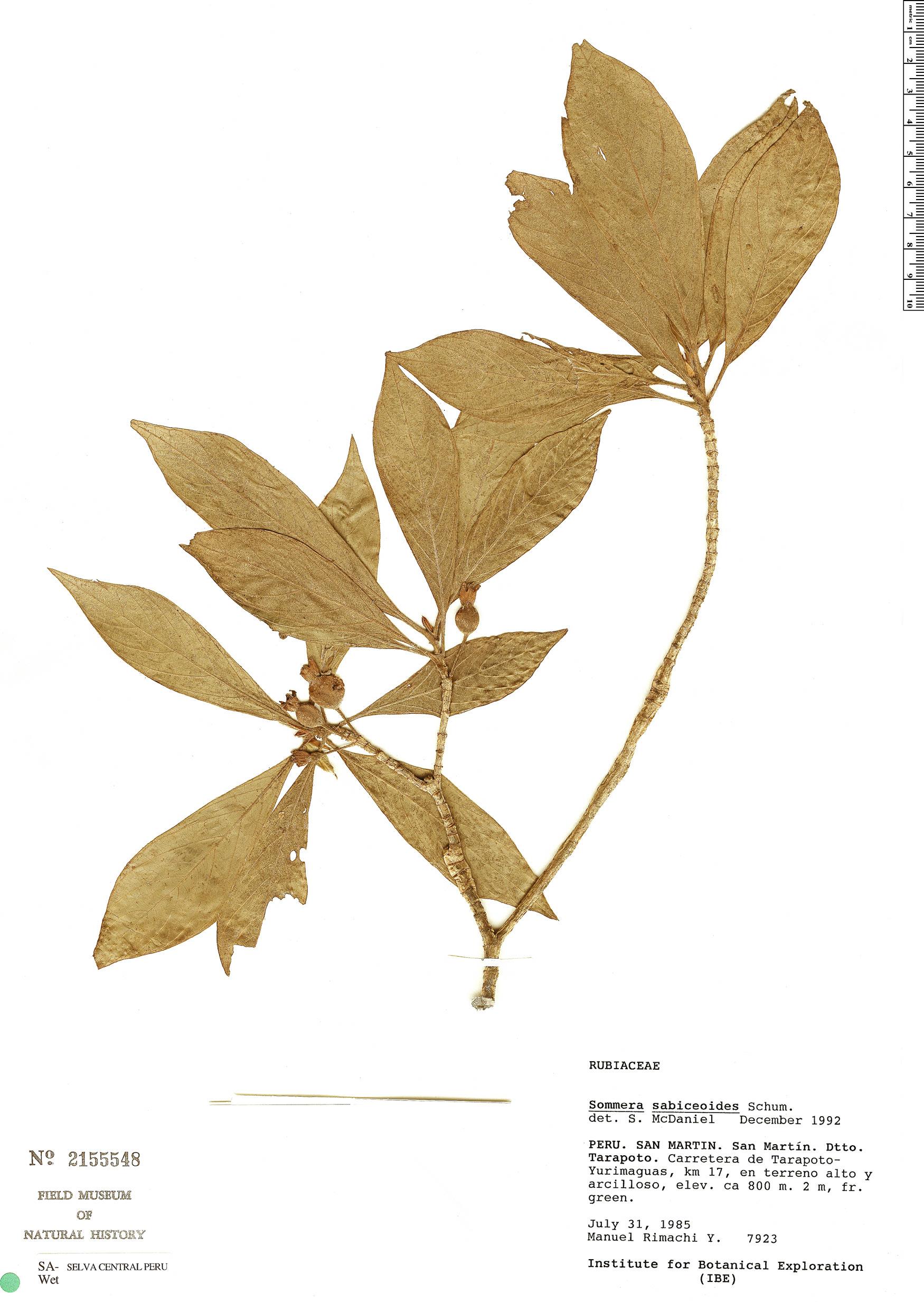 Specimen: Sommera sabiceoides