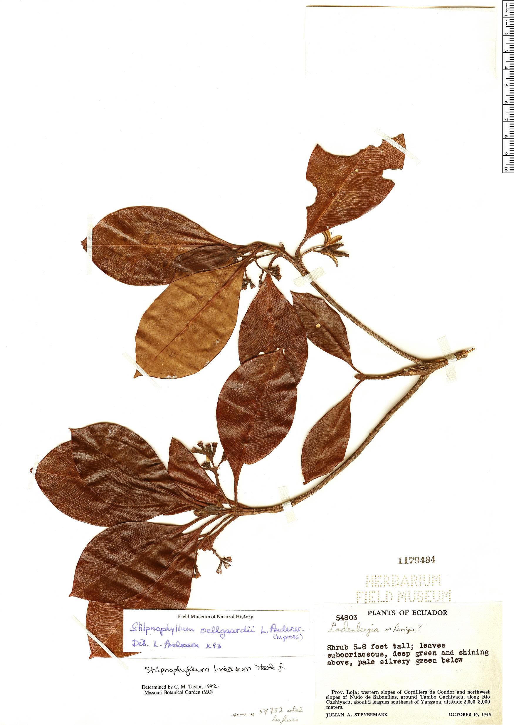 Specimen: Stilpnophyllum oellgaardii