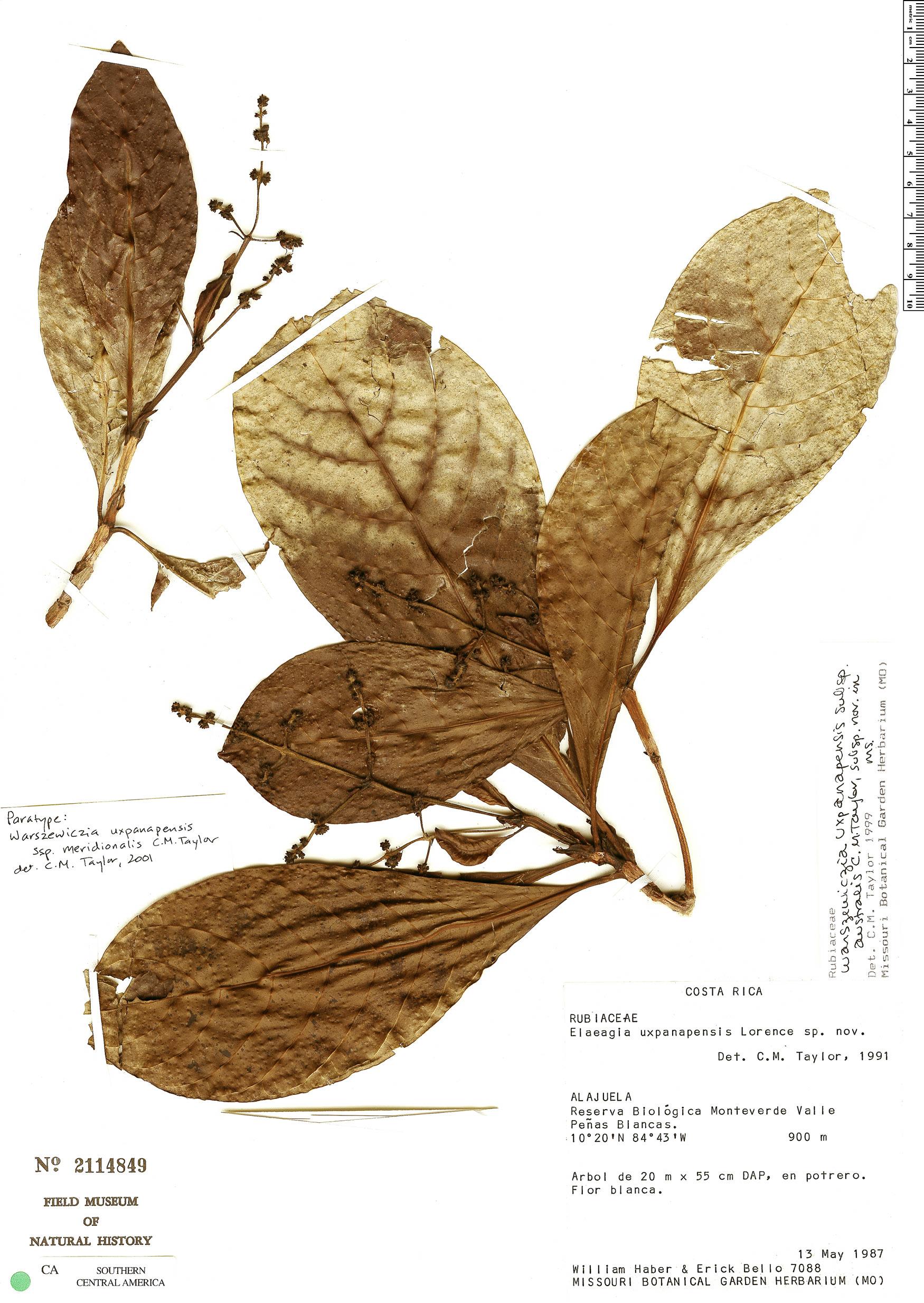 Warszewiczia uxpanapensis image