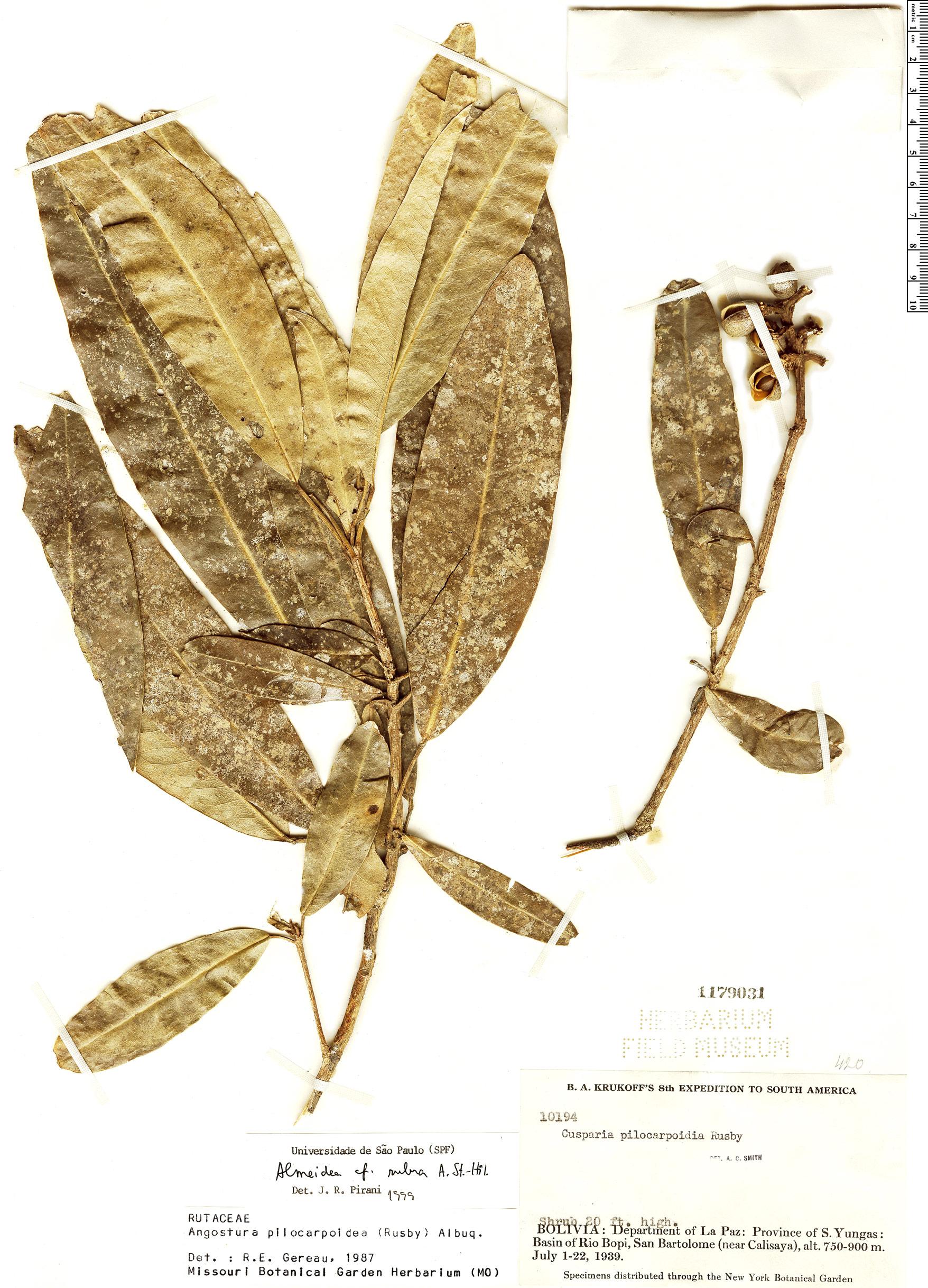 Specimen: Almeidea rubra