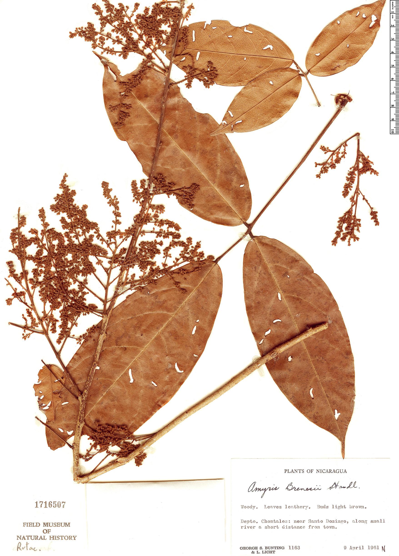 Specimen: Connarus lentiginosus