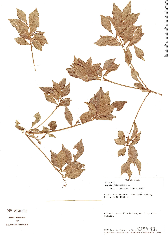 Specimen: Amyris balsamifera