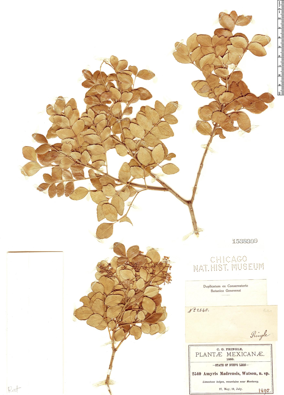 Specimen: Amyris madrensis