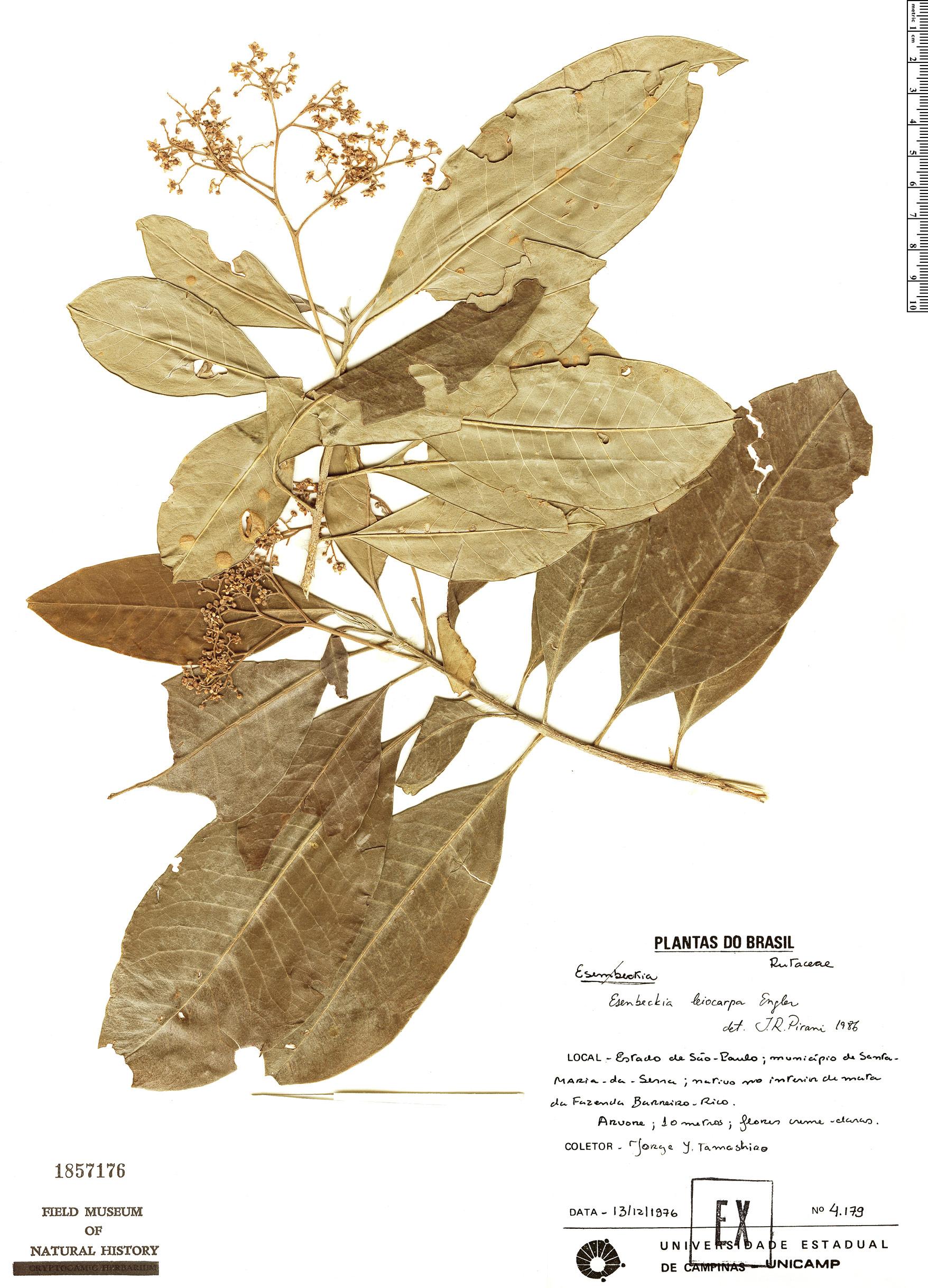 Specimen: Esenbeckia leiocarpa