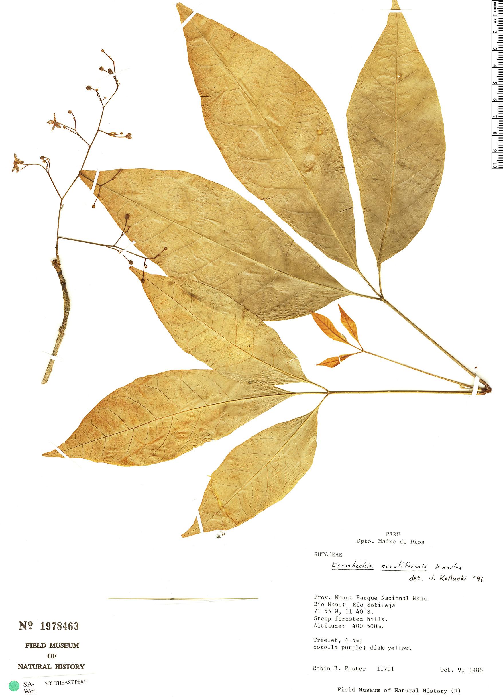 Specimen: Esenbeckia scrotiformis