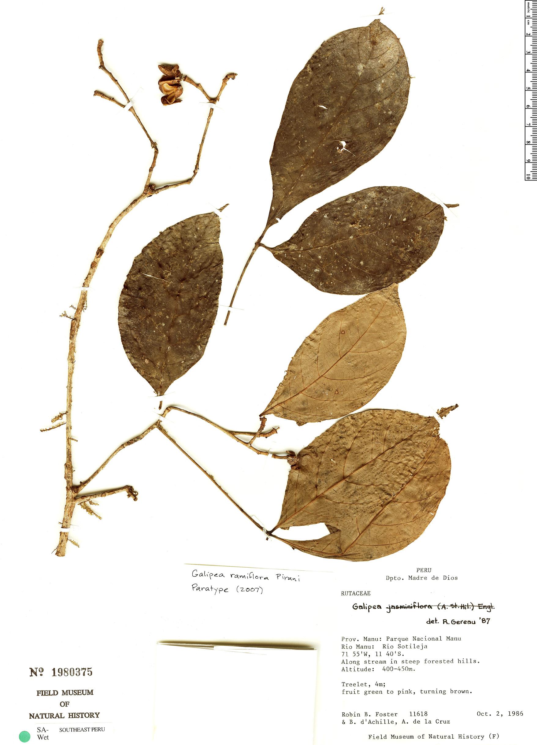 Espécime: Galipea ramiflora