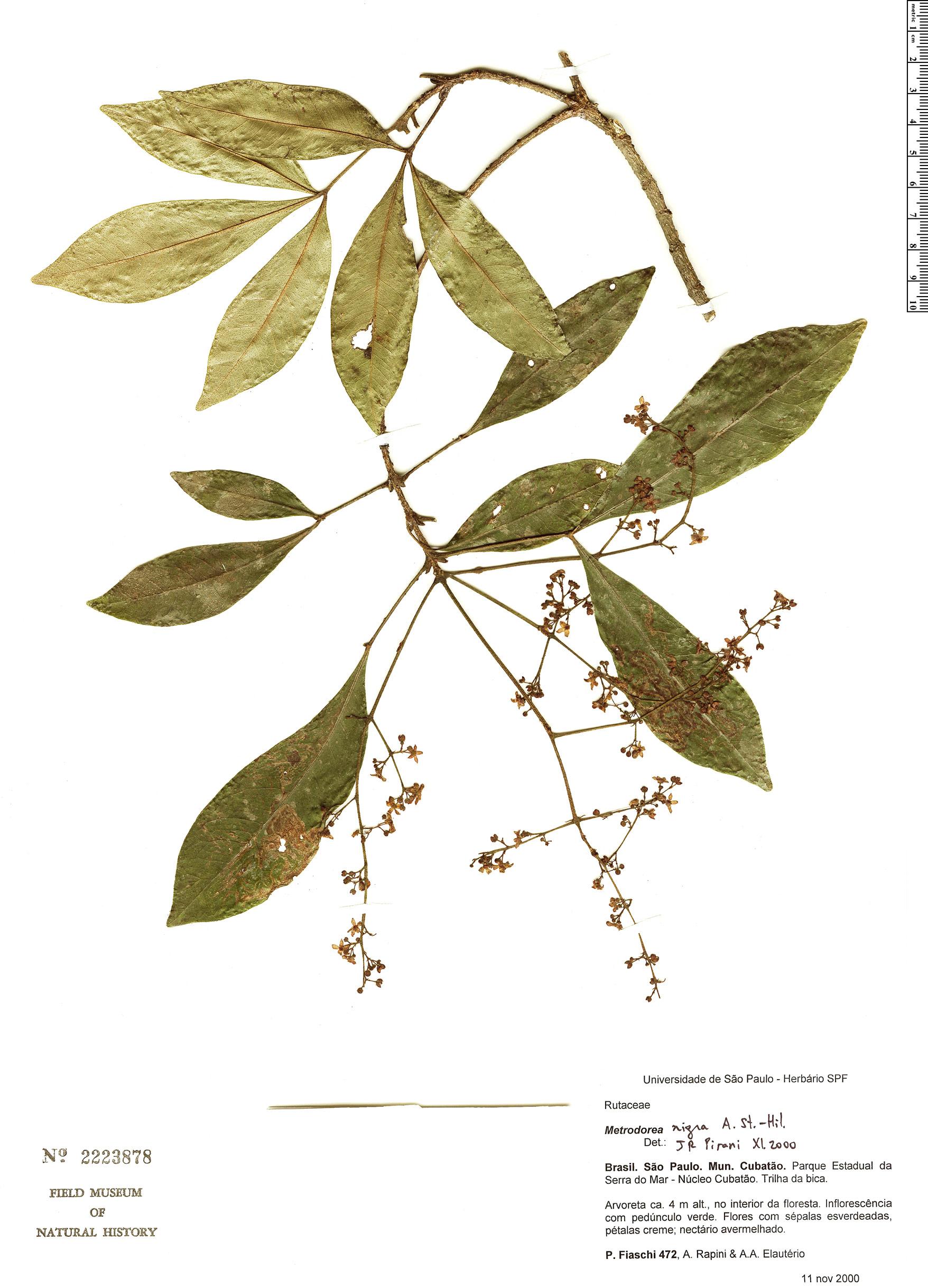 Specimen: Metrodorea nigra