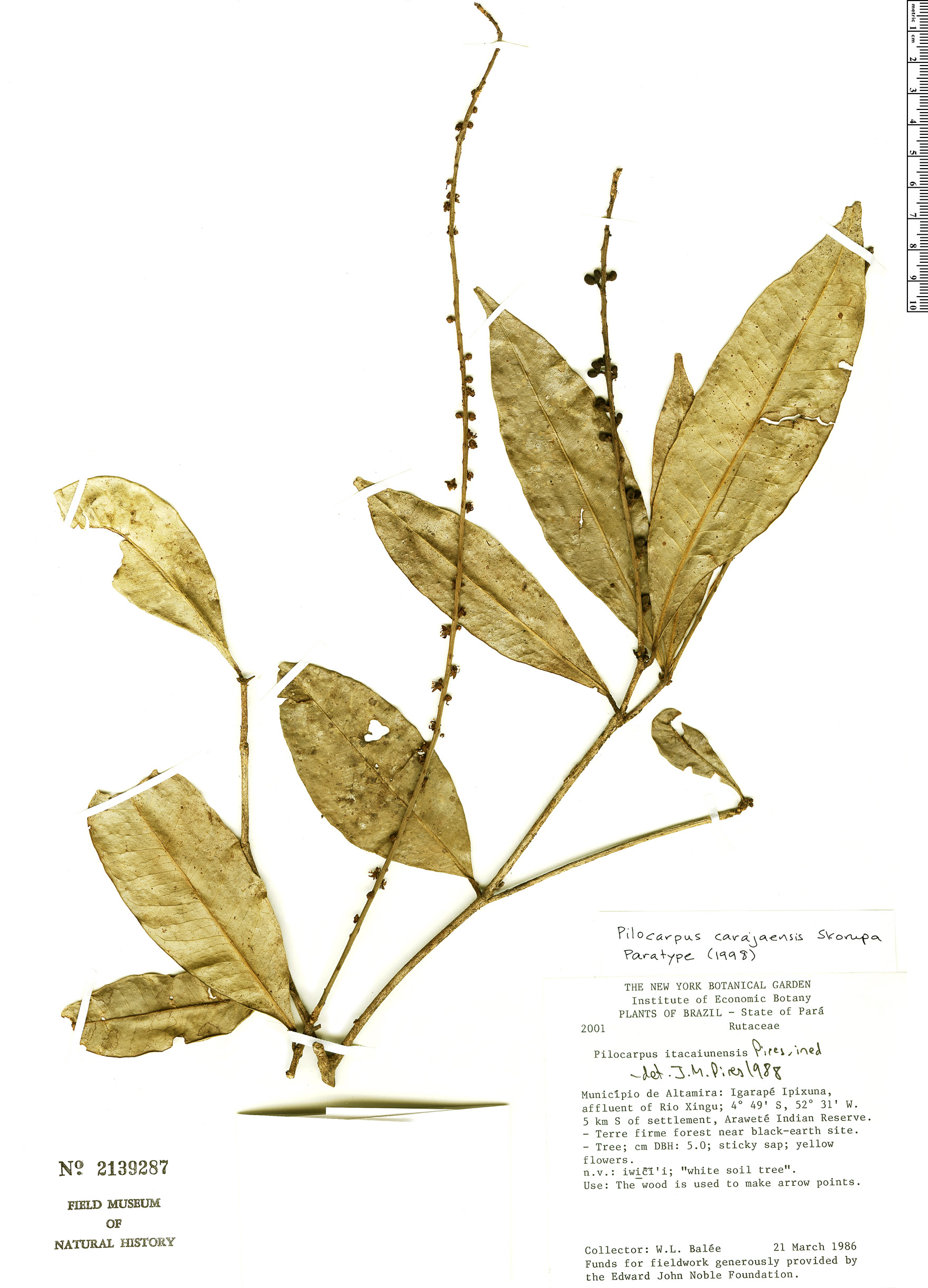 Specimen: Pilocarpus carajaensis