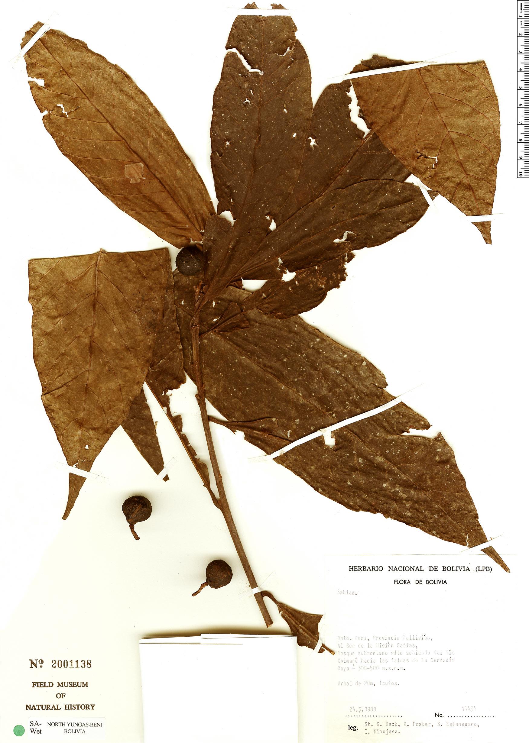 Specimen: Meliosma glabrata