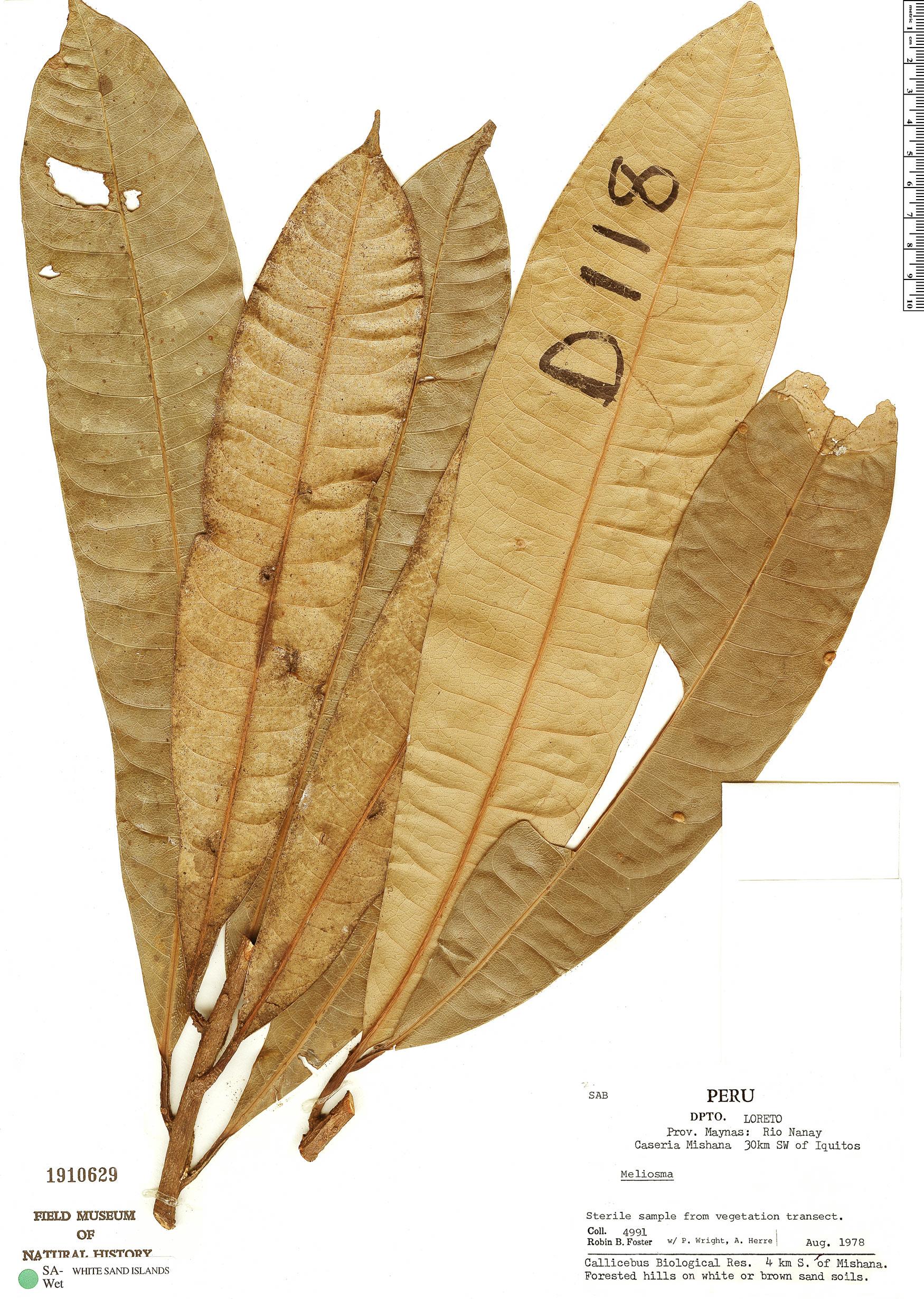 Espécime: Meliosma glossophylla