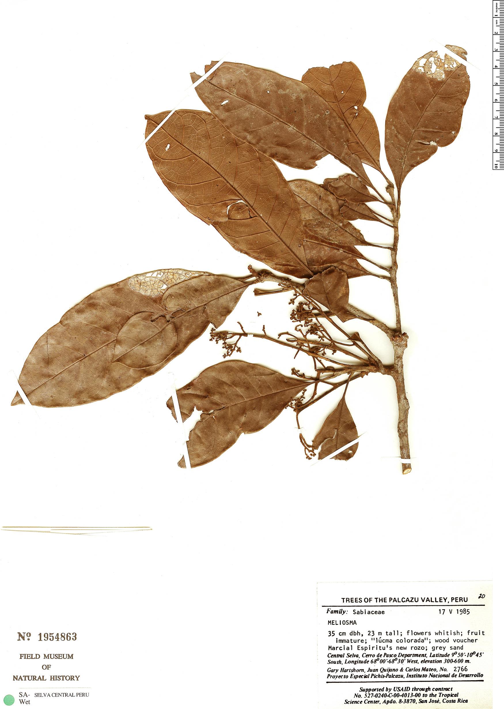 Specimen: Meliosma herbertii