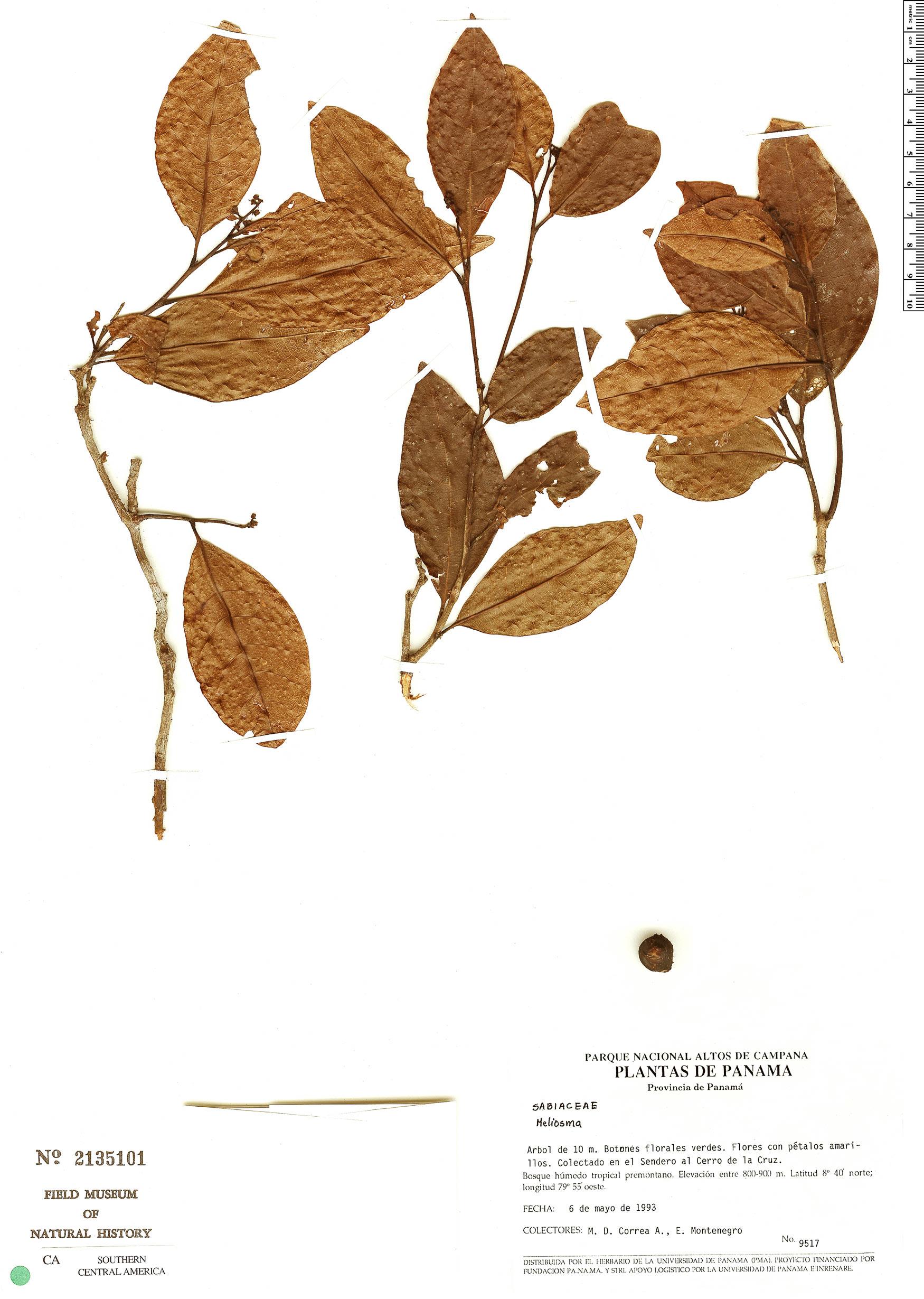 Specimen: Meliosma oligantha