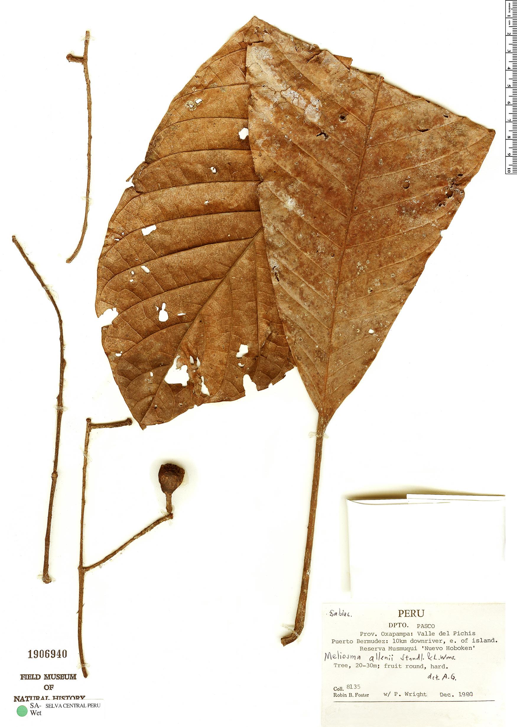 Specimen: Meliosma palaciosii
