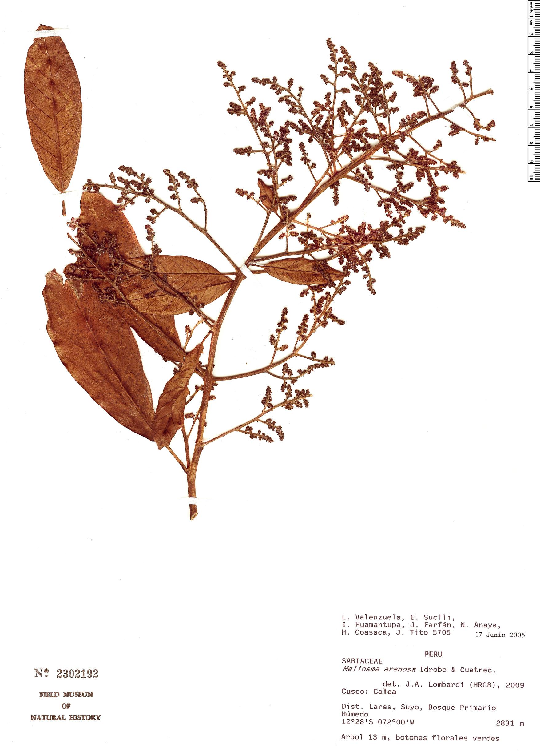 Specimen: Meliosma peytonii