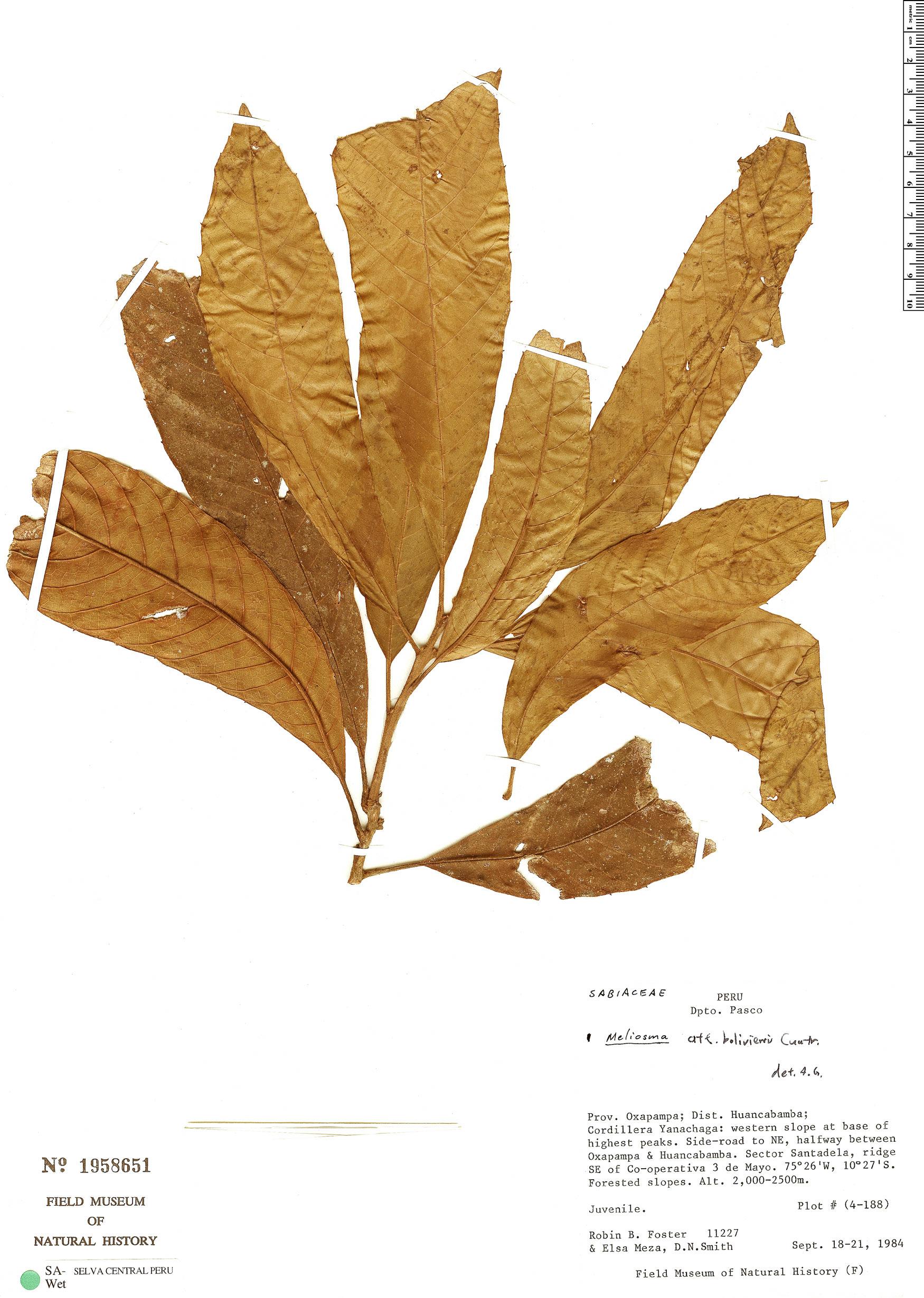 Specimen: Meliosma caballeroensis