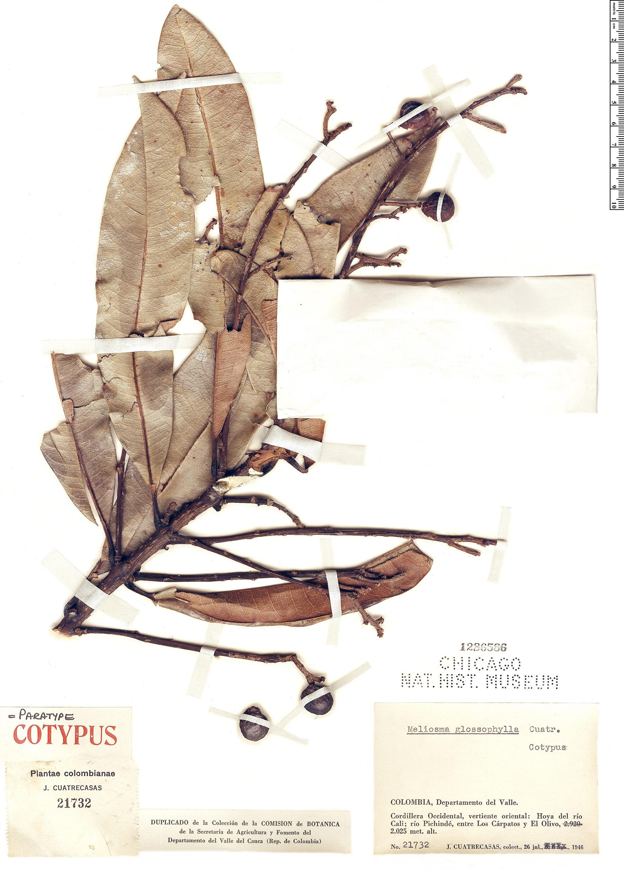 Specimen: Meliosma glossophylla