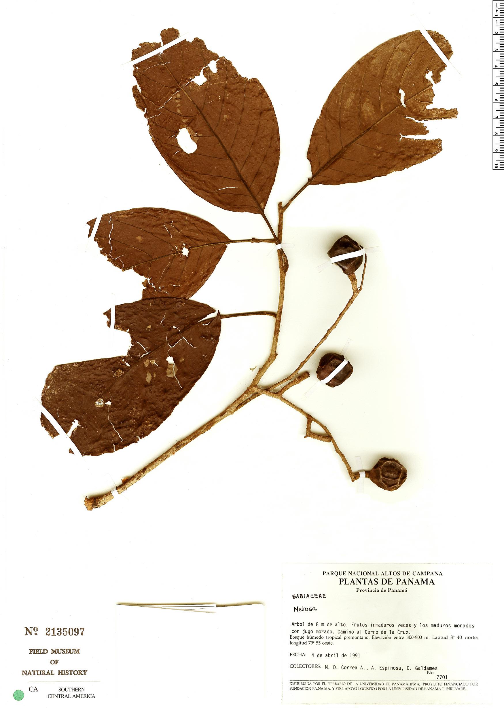 Specimen: Meliosma occidentalis
