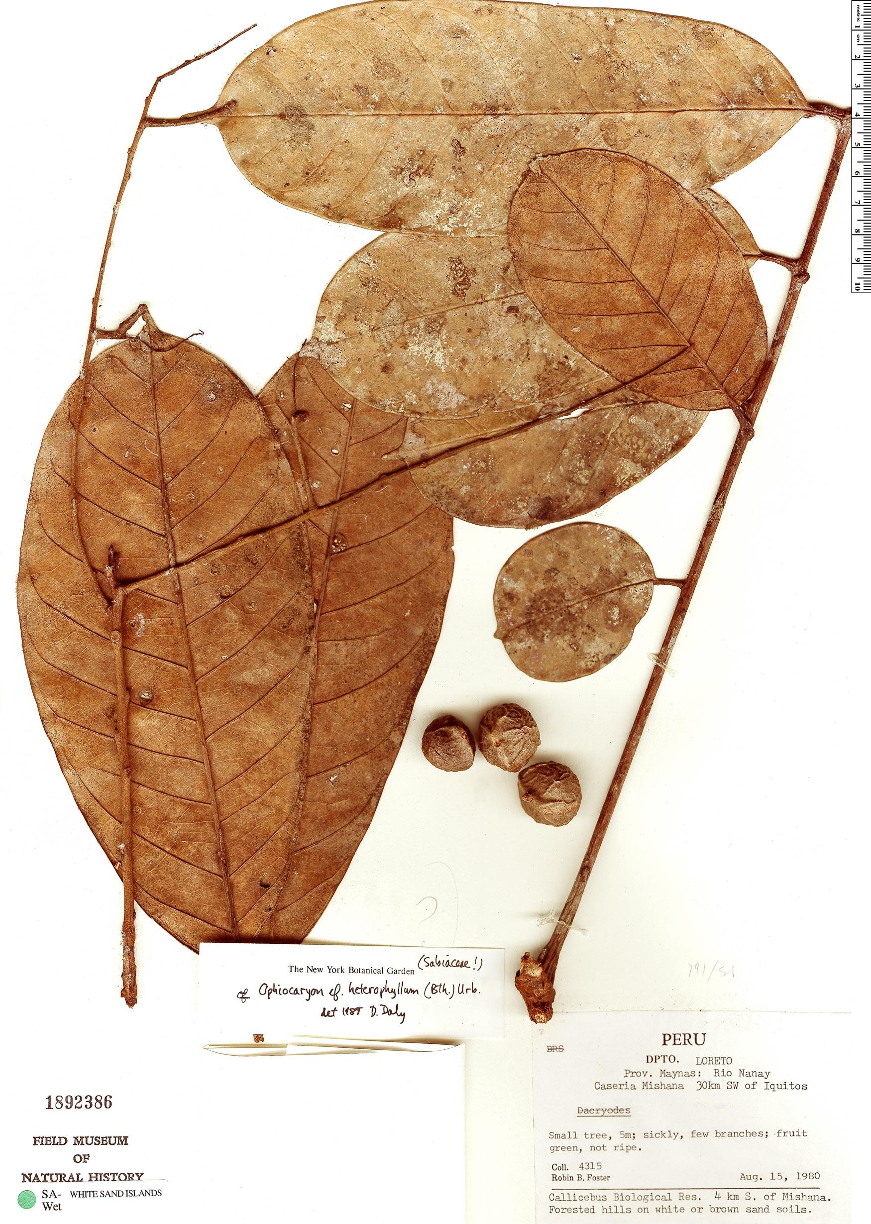Specimen: Ophiocaryon heterophyllum