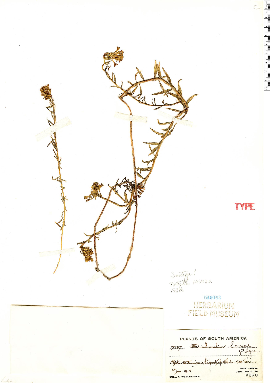 Specimen: Quinchamalium lomae