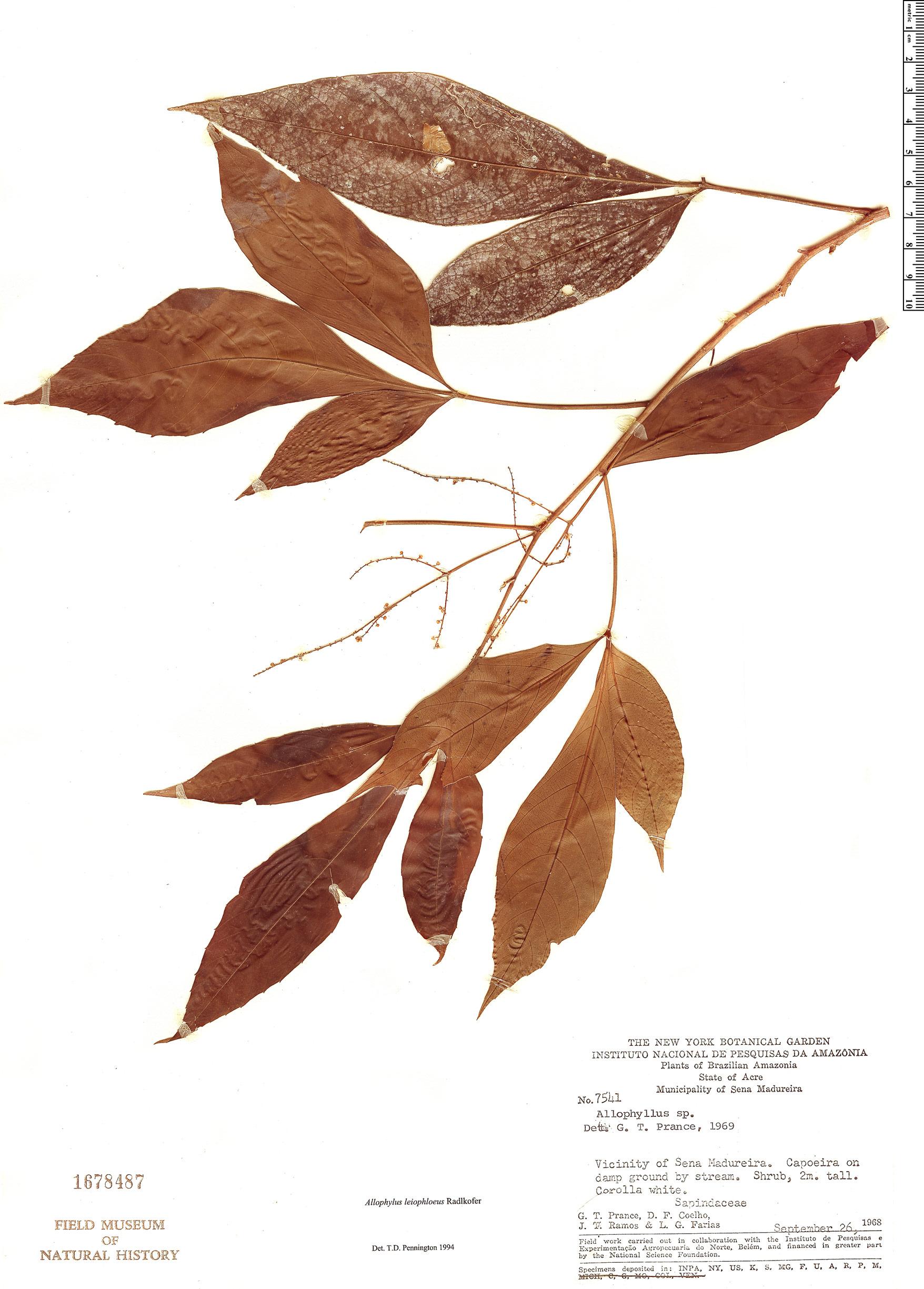 Specimen: Allophylus leiophloeus