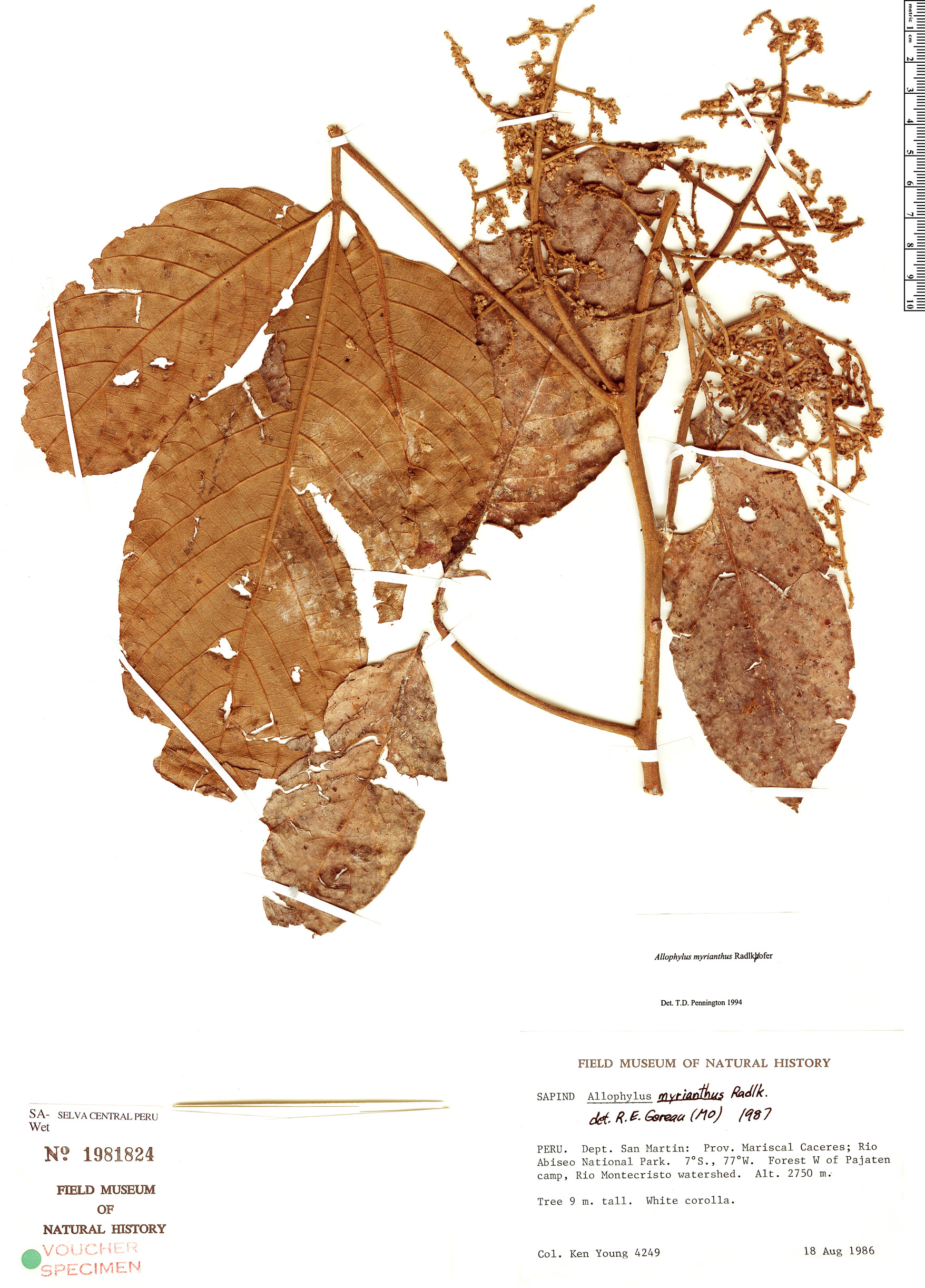 Specimen: Allophylus myrianthus