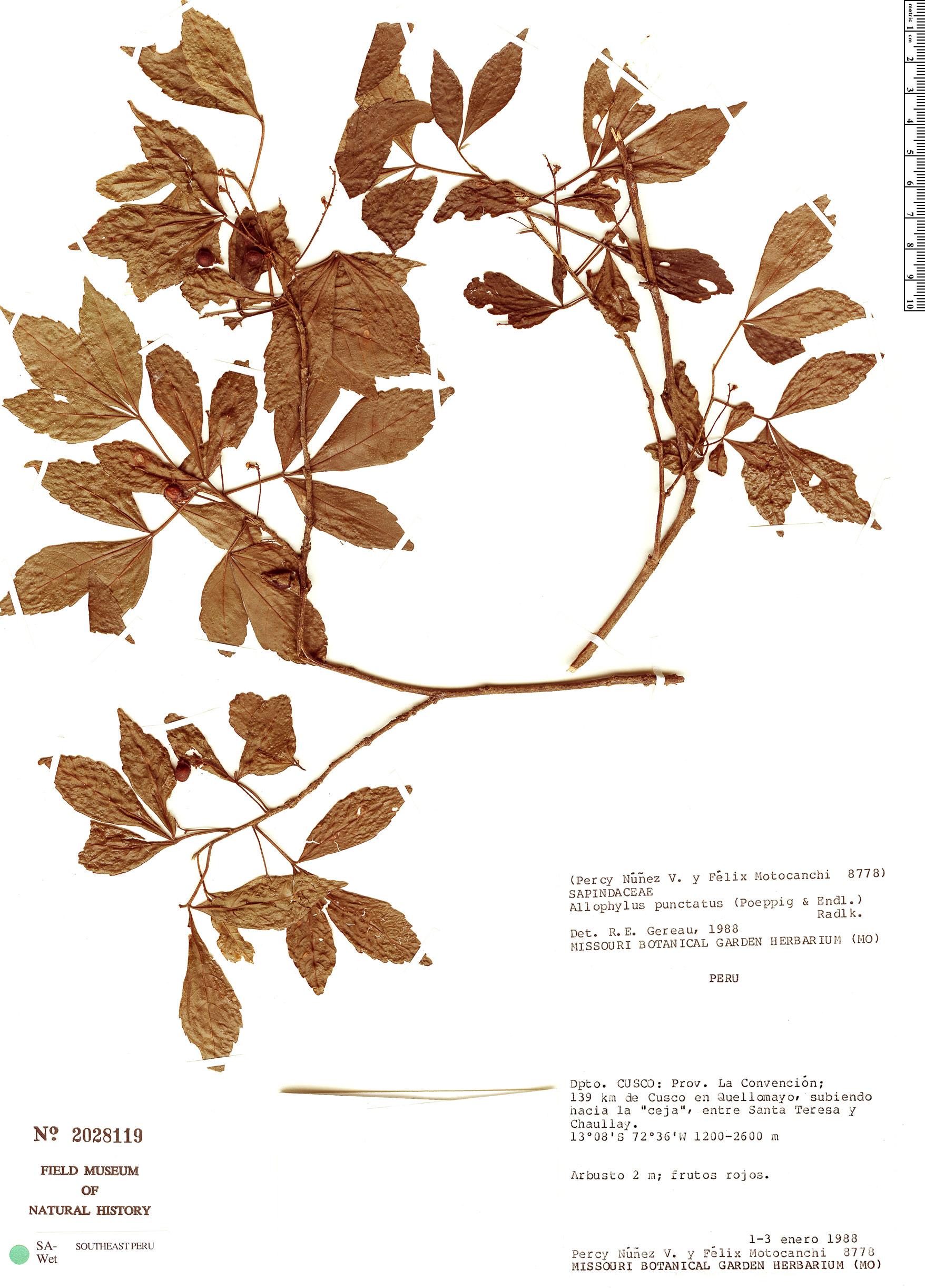 Specimen: Allophylus punctatus