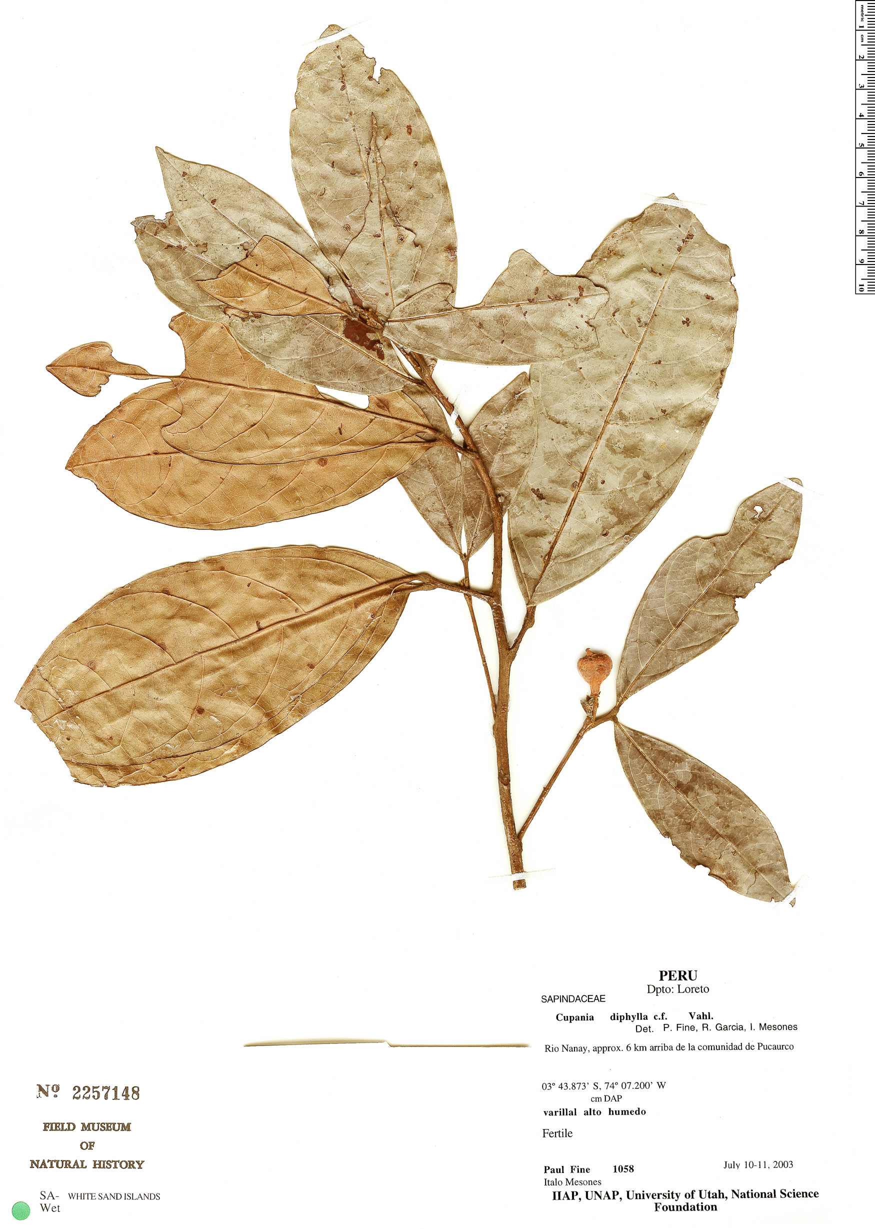 Specimen: Cupania diphylla