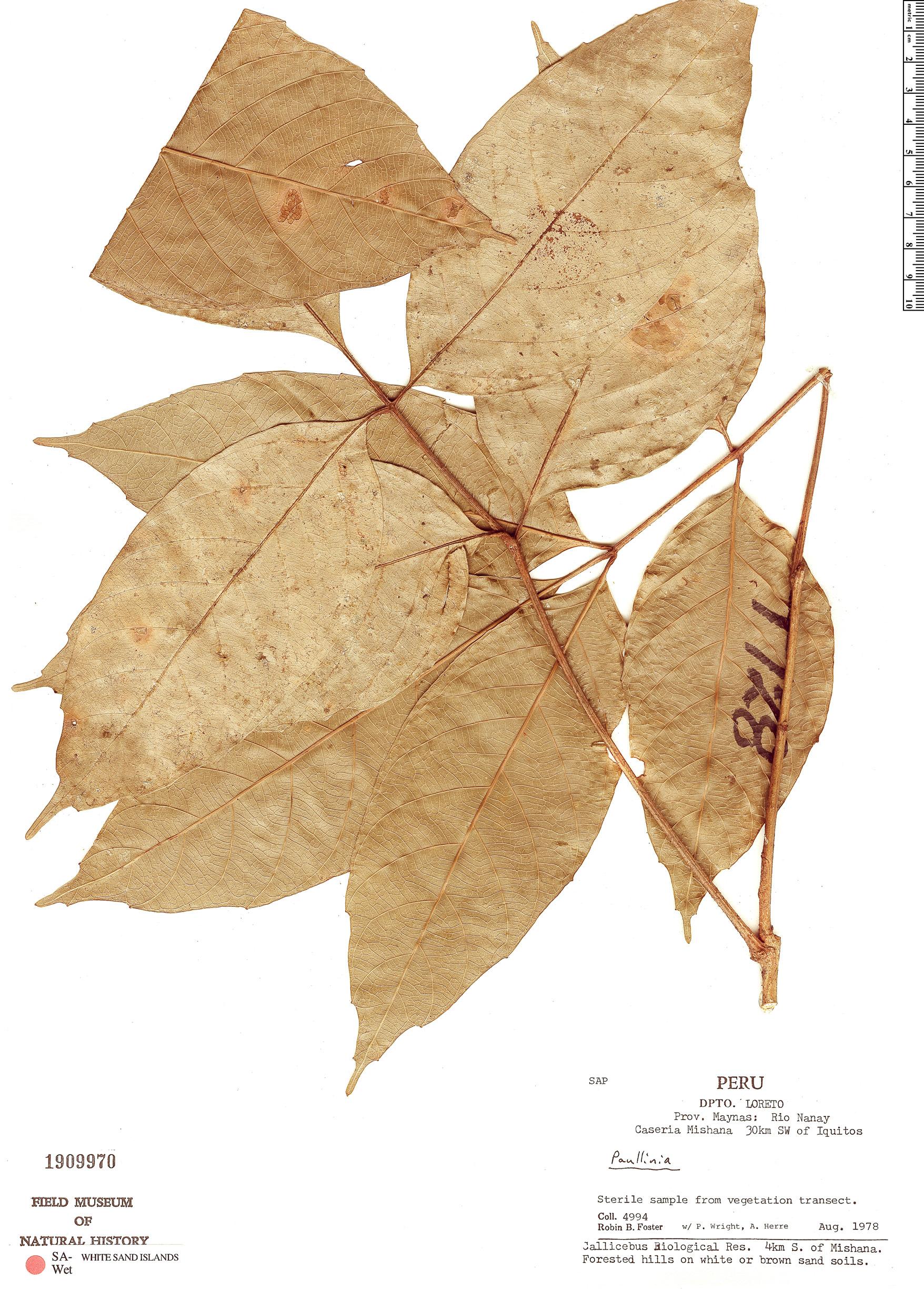 Specimen: Paullinia