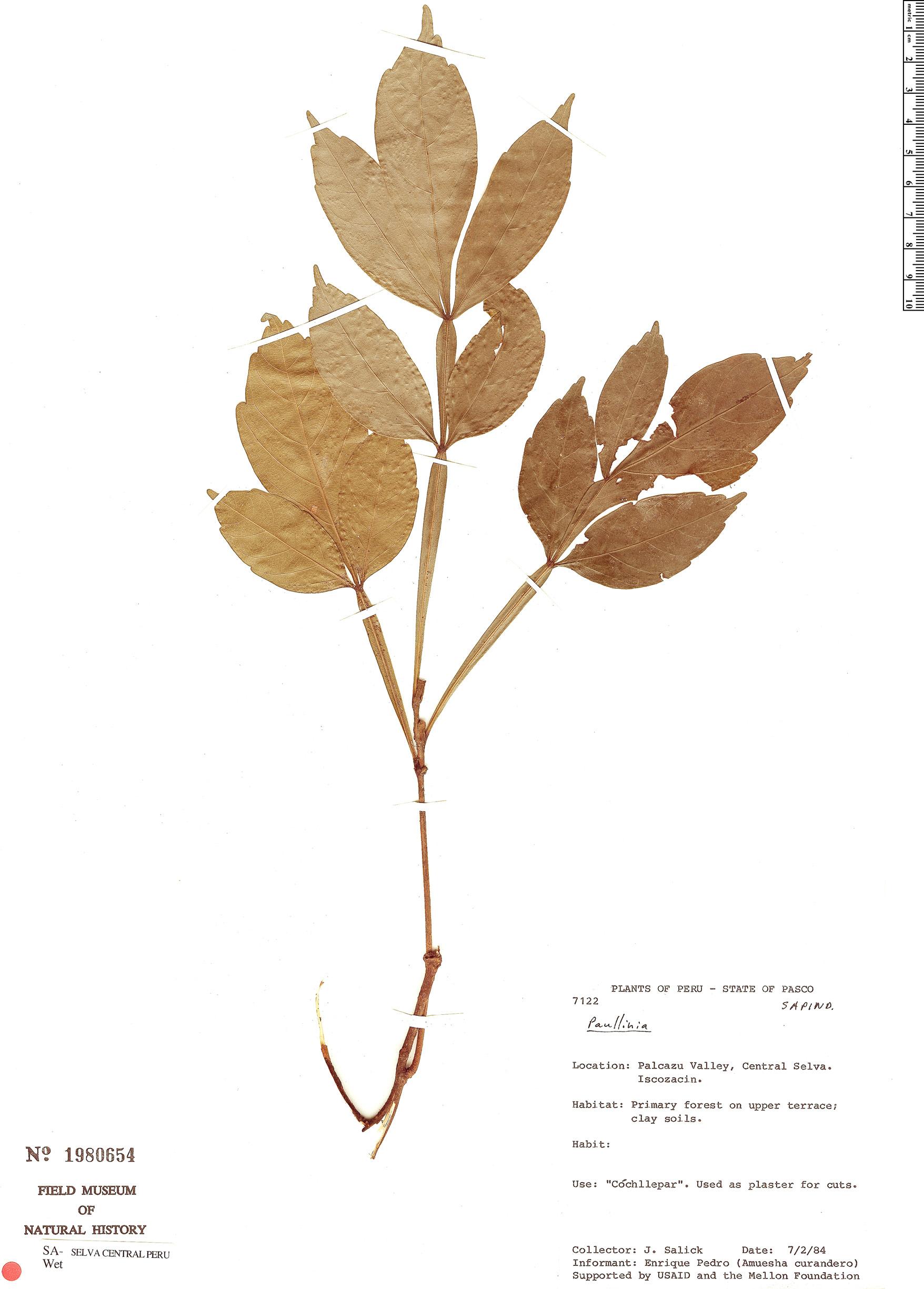 Espécimen: Paullinia