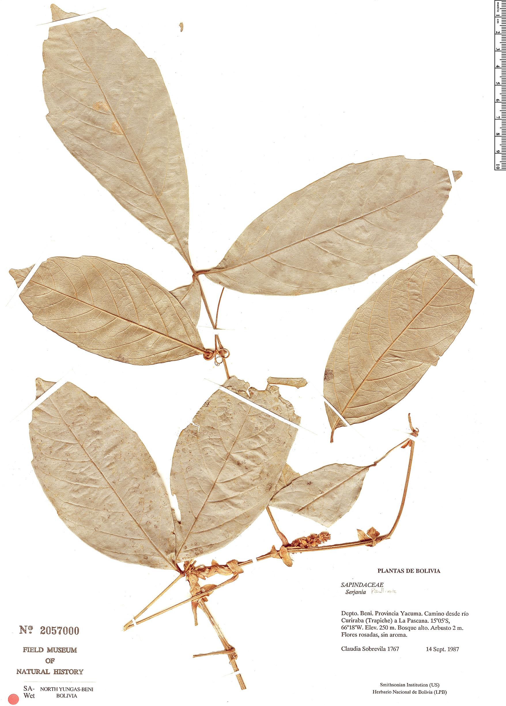 Espécime: Paullinia
