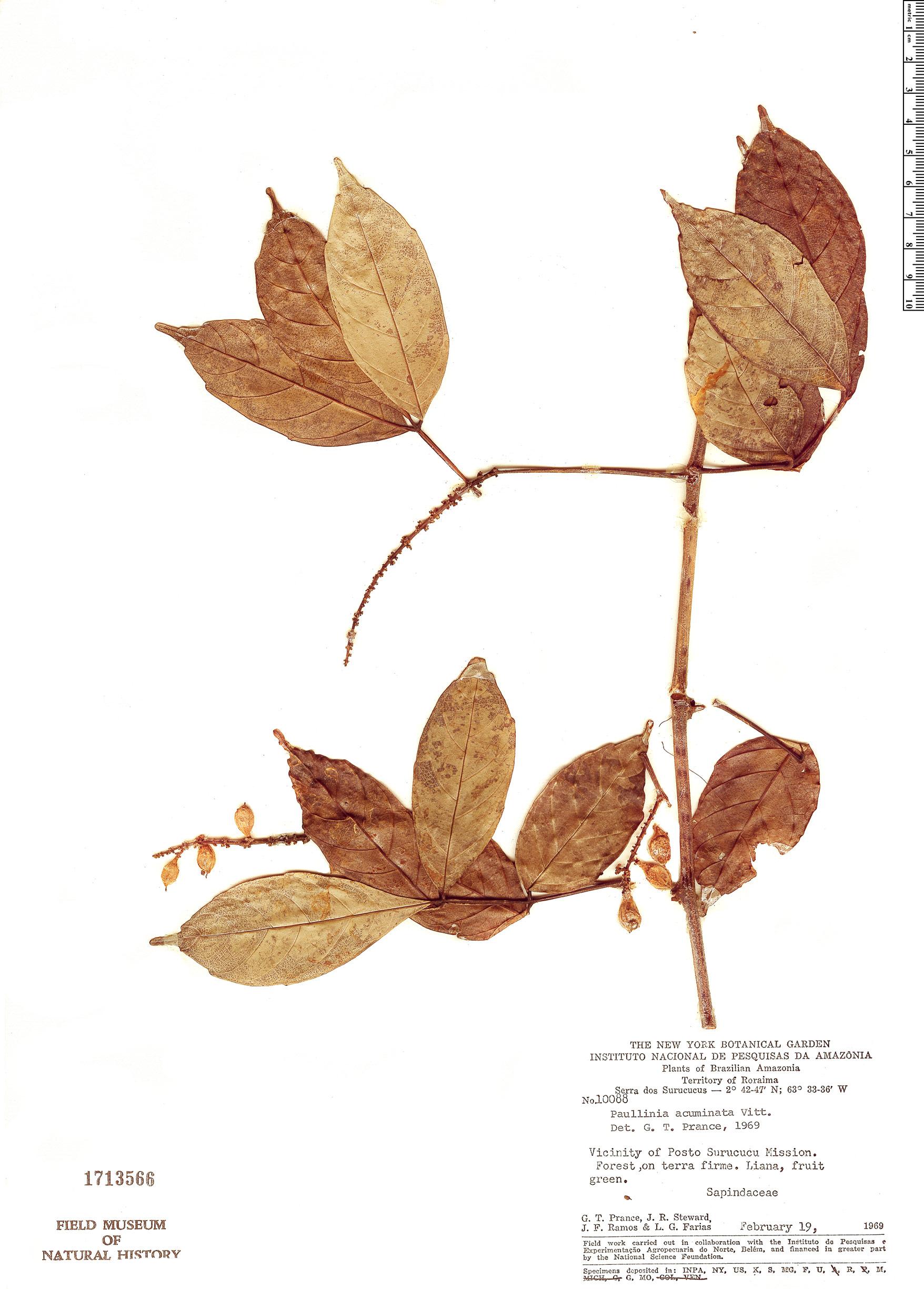 Specimen: Paullinia acuminata