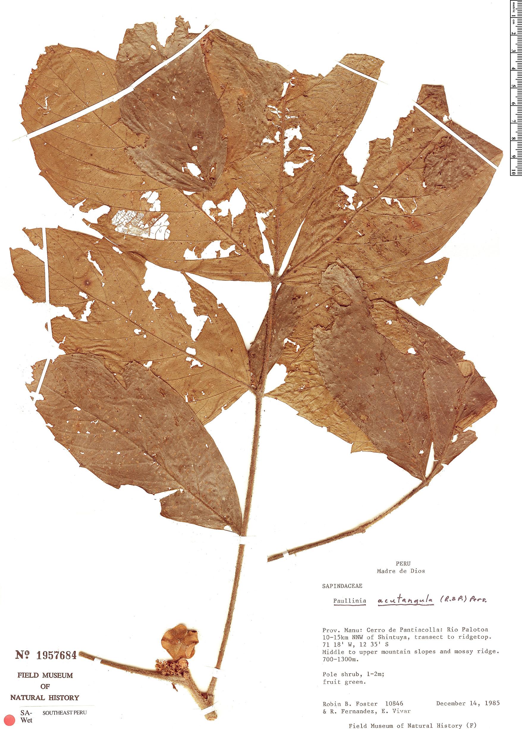 Specimen: Paullinia acutangula